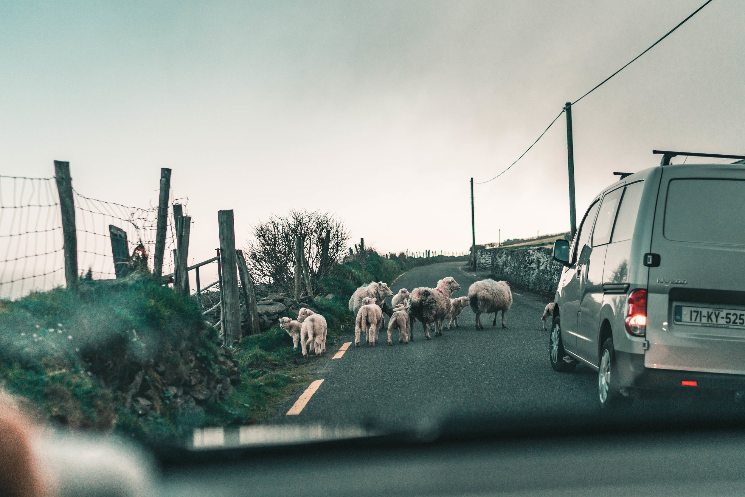 sheep+ireland+dingle+peninsula+road+trip+must+see+visit