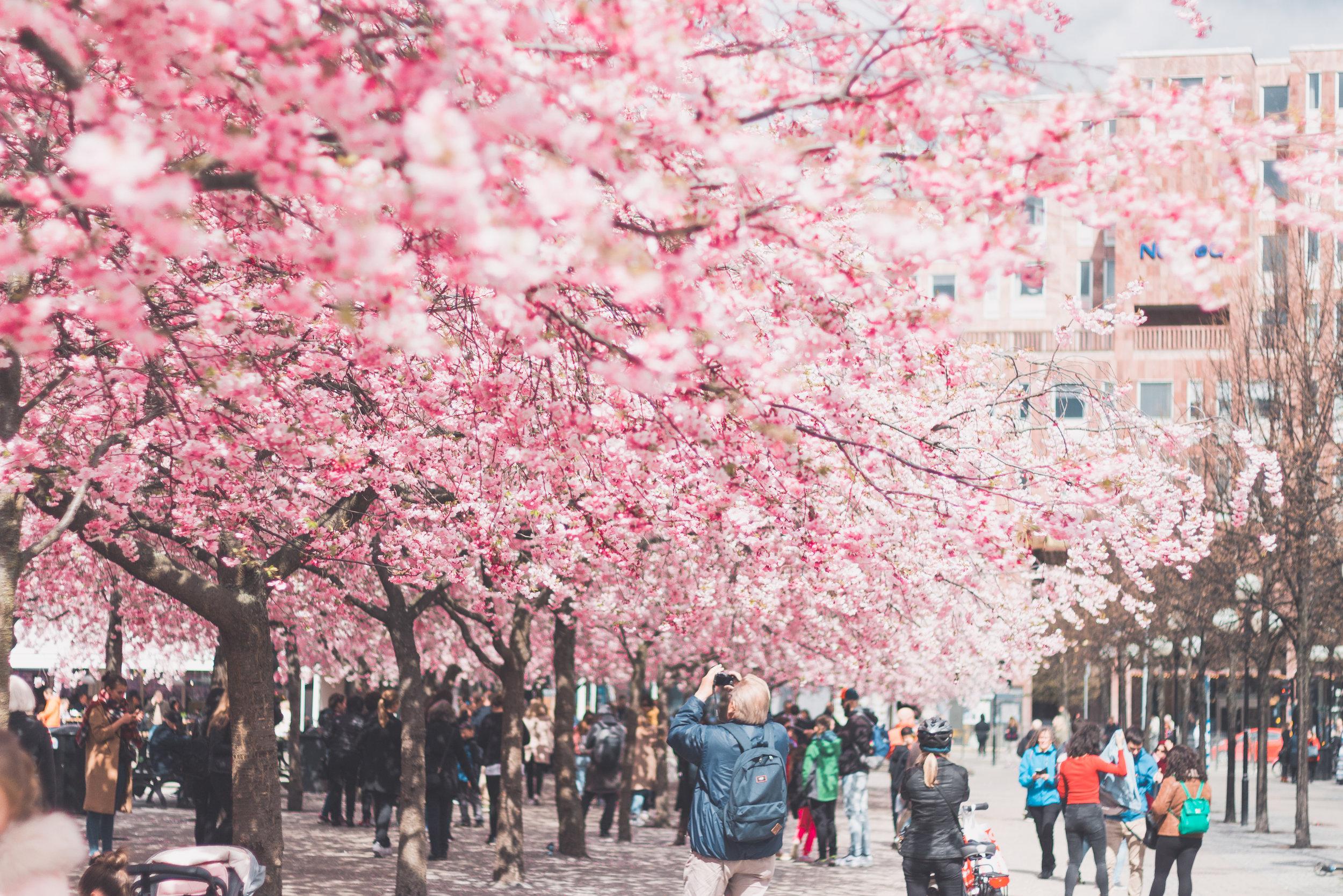 stockholm+körsbärsträd+kungsträdgården