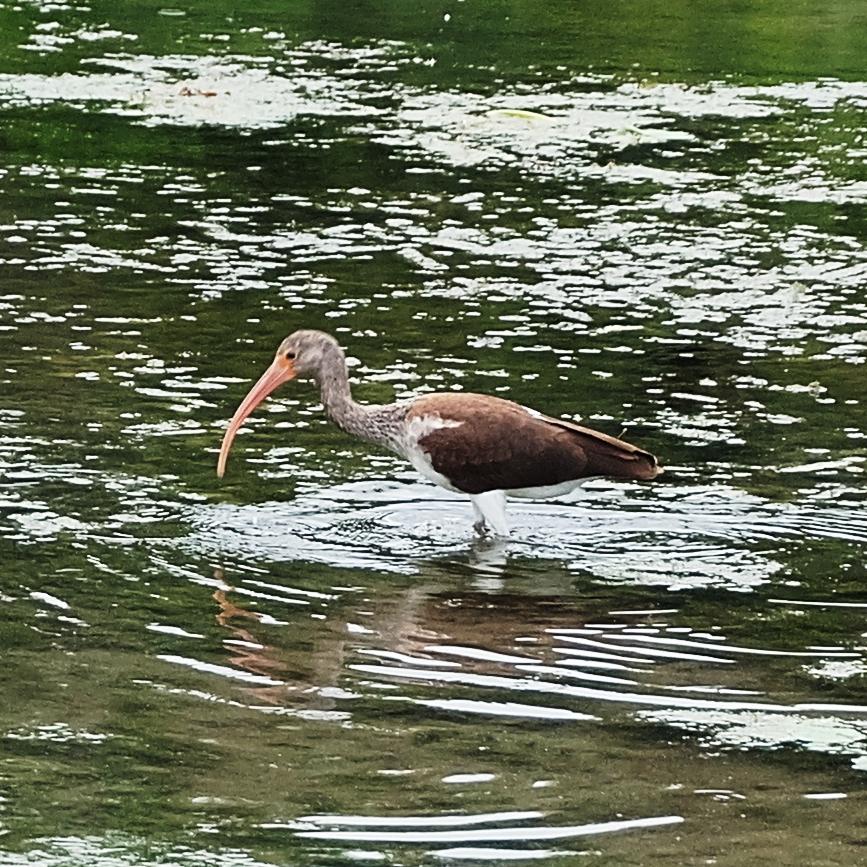 Ibis? at Spring Lake .JPG