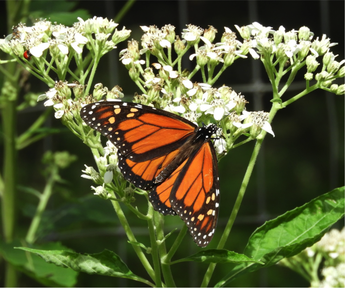Male Monarch on Frostweed - October 25, 2018 – 2:15 PM