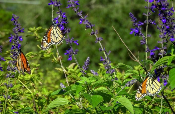 October 27 - 10:30 AM - Monarchs sampling my neighbor's salvia