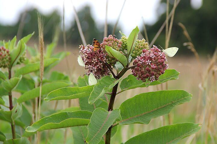 milkweed-plant_720x480.jpg