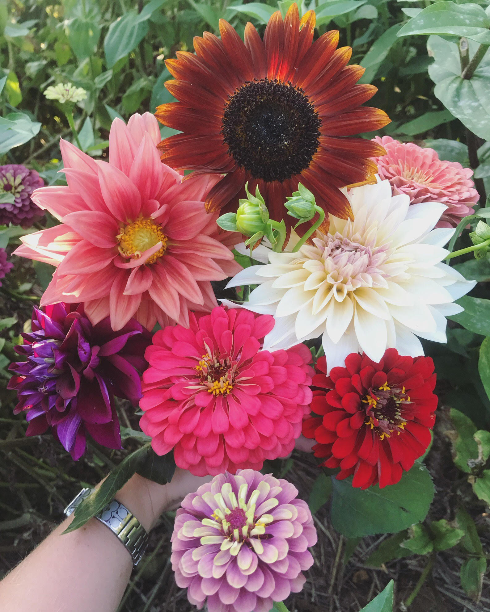"Late summer harvest. Sunflowers, Zinnias and Dahlias. The white dahlia ""Cafe au Lait"" has my heart in this photo!"