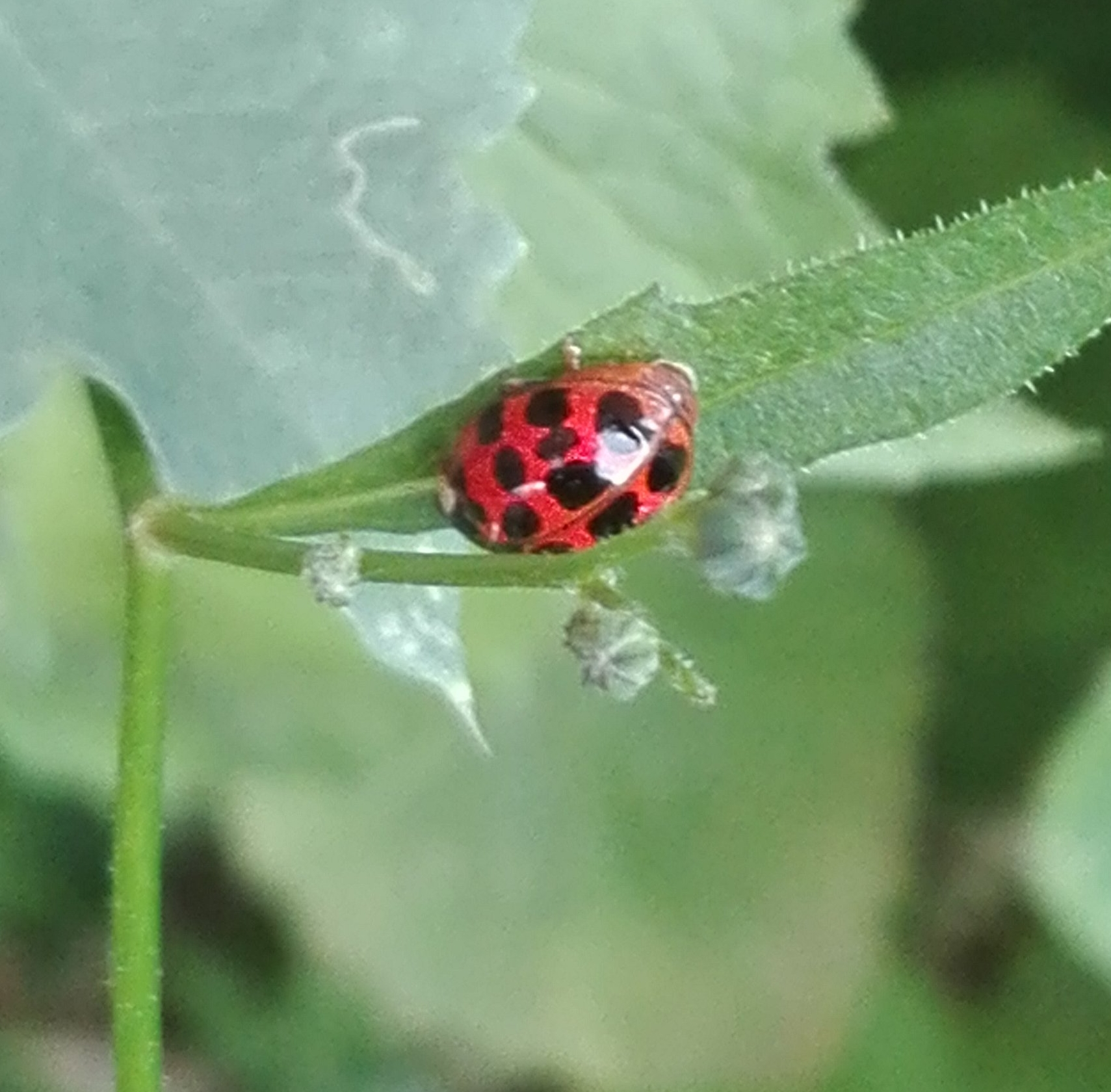 #124 Harlequin Ladybird
