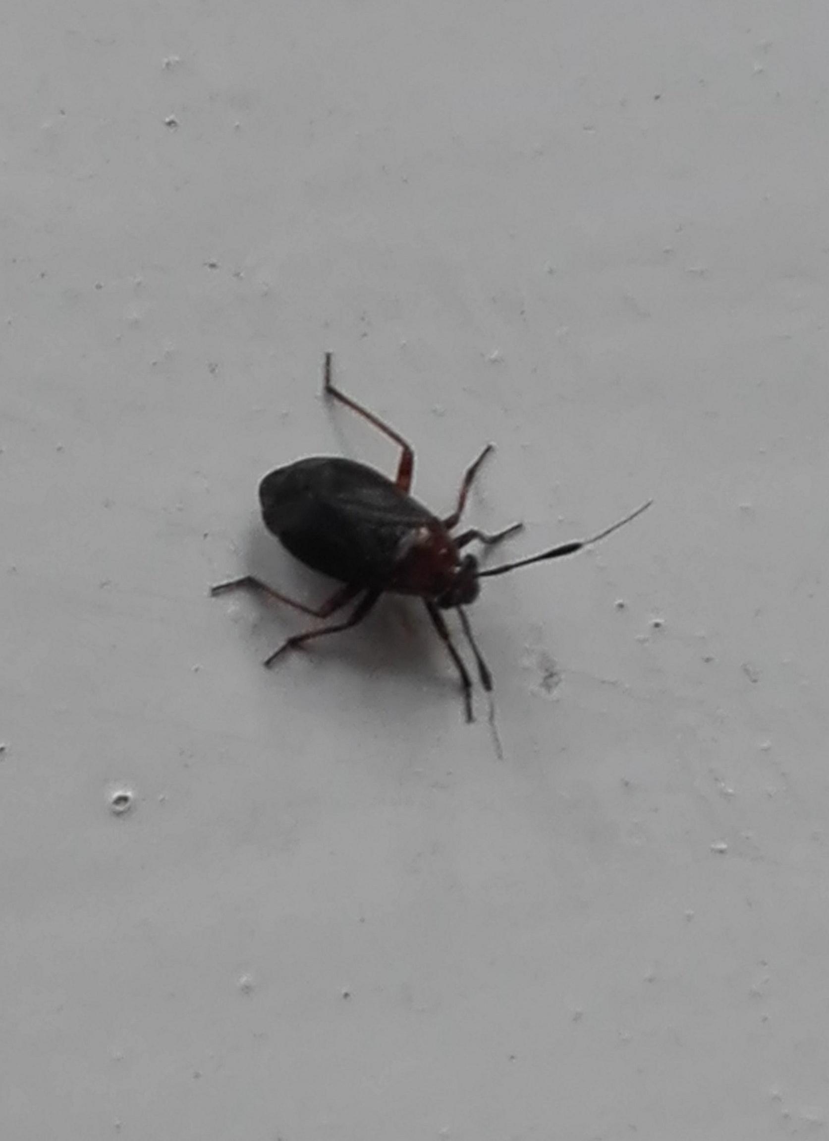#152 Capsus ater Capsid bug