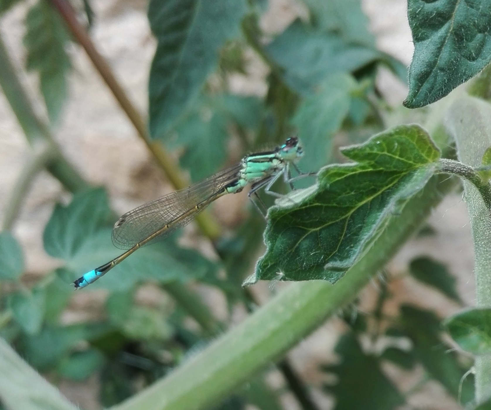 #158 Blue-tailed Damselfly