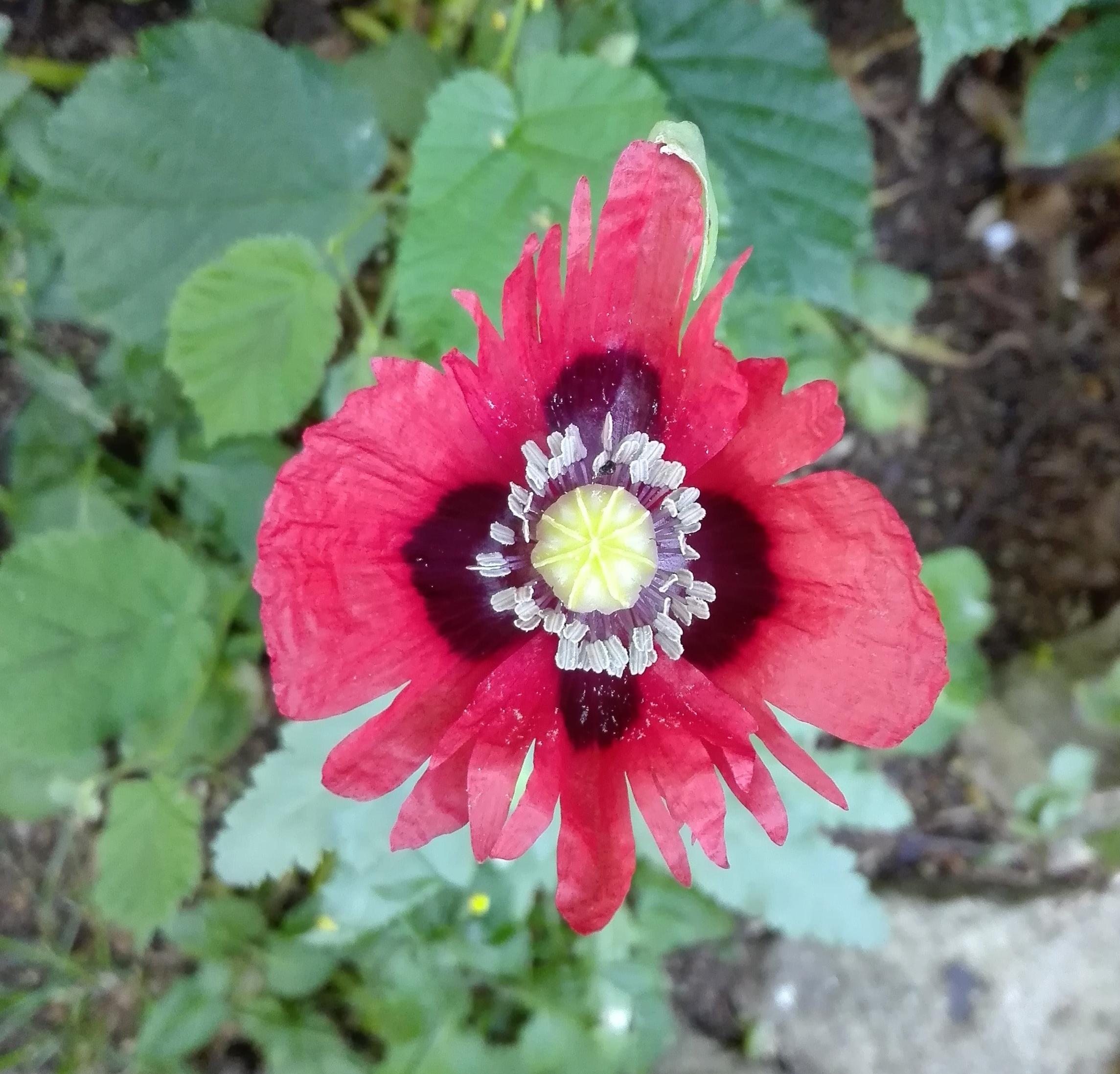 #175 Opium Poppy