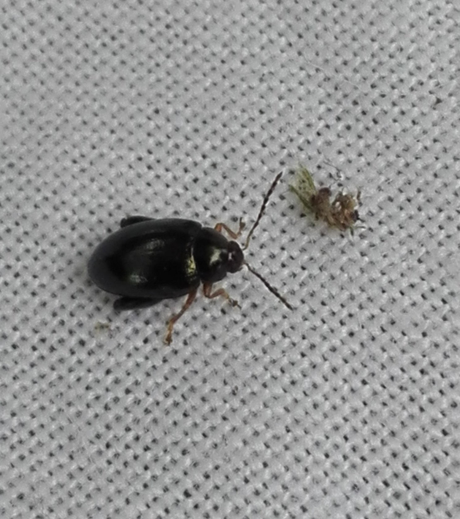 #161 Crepidodera fulvicornis Flea beetle