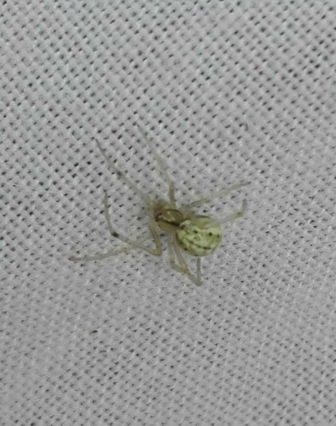 #162 Green Orb Weaver Spider