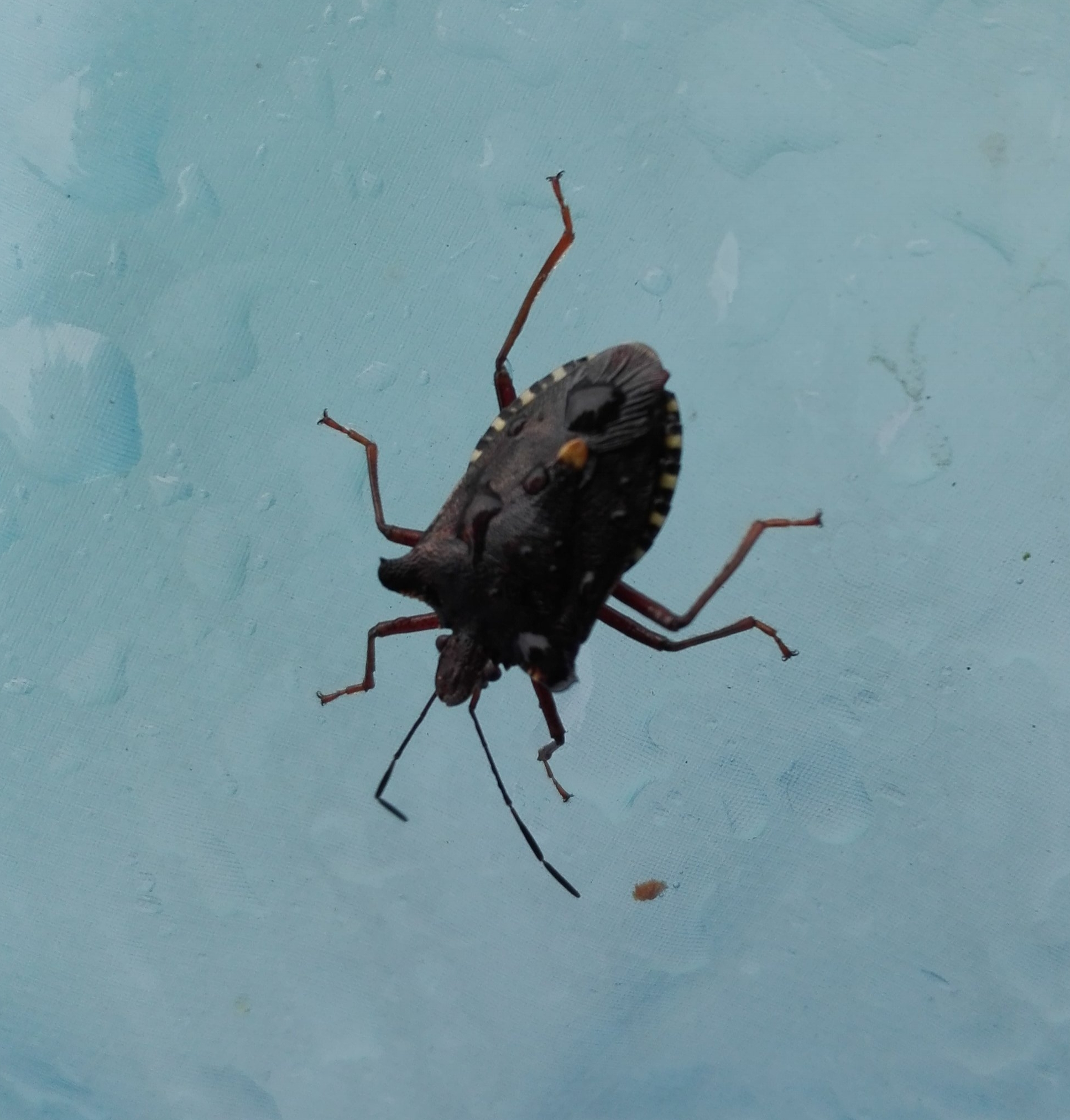 #292 Red-legged Shieldbug