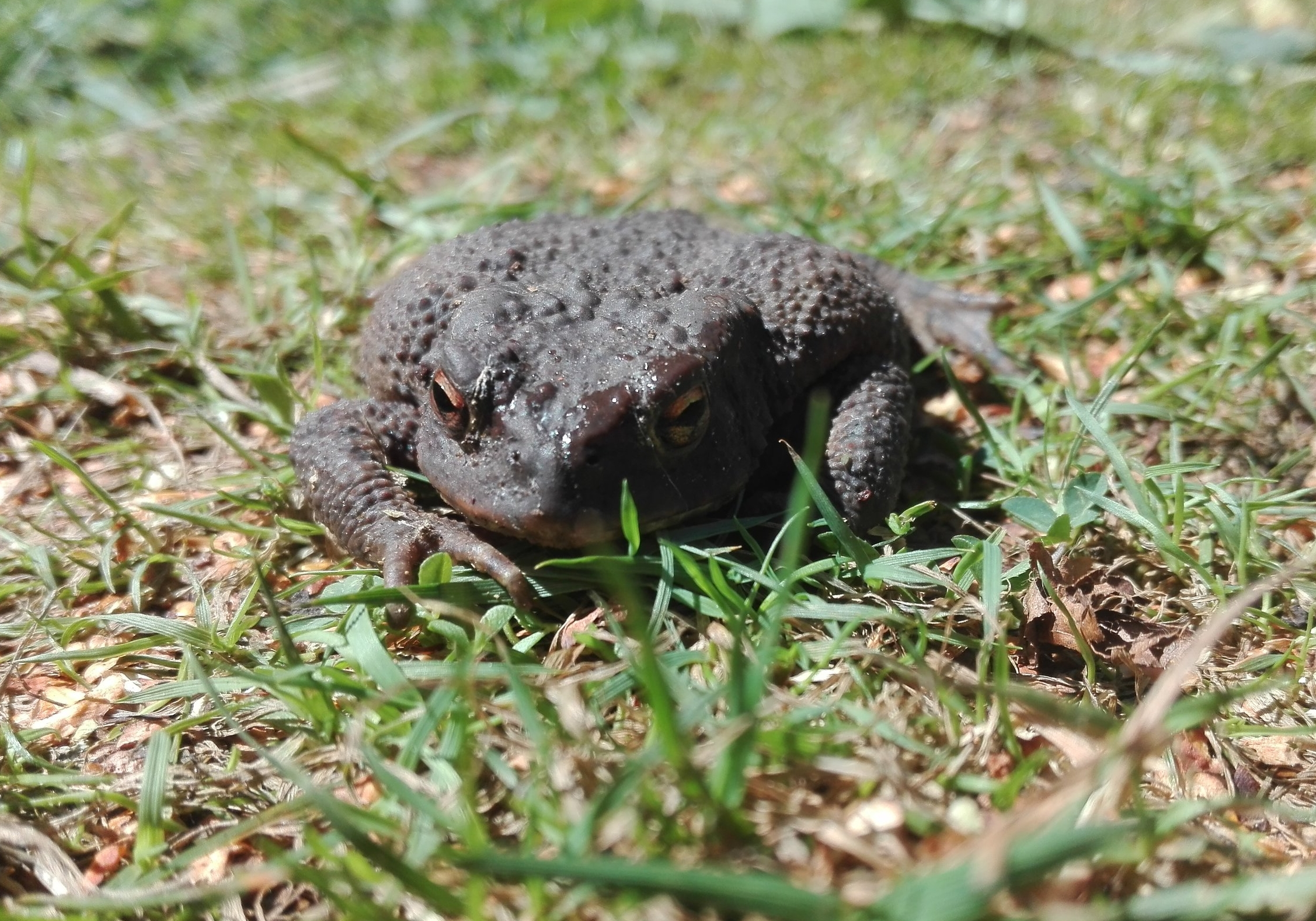 108 Common Toad.jpg