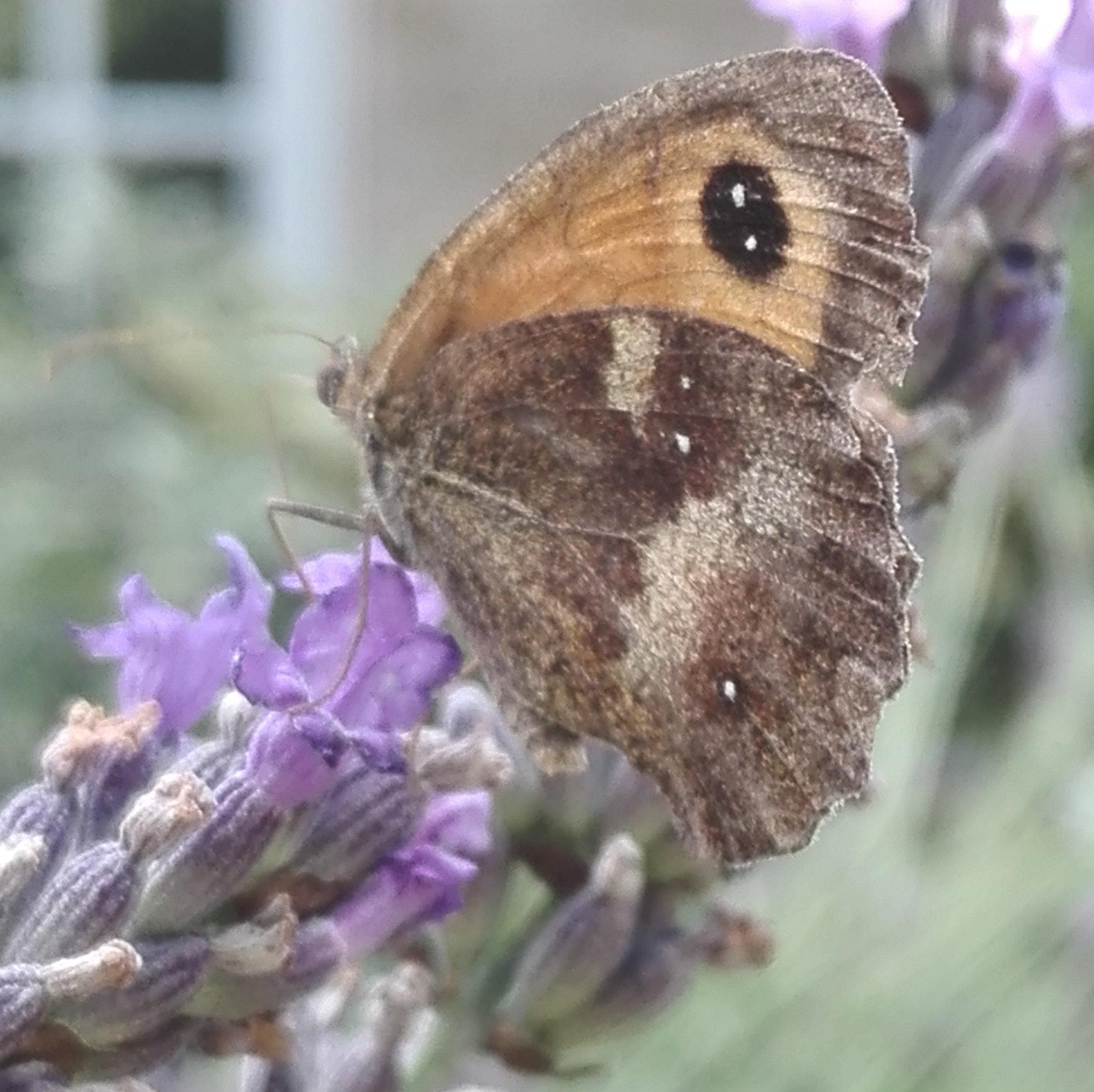 #262 Gatekeeper butterfly