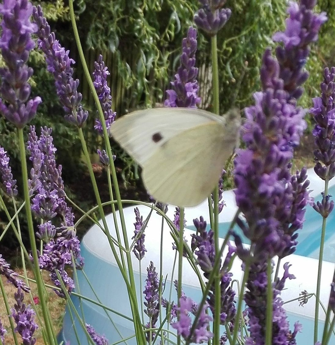 102 Large White butterfly