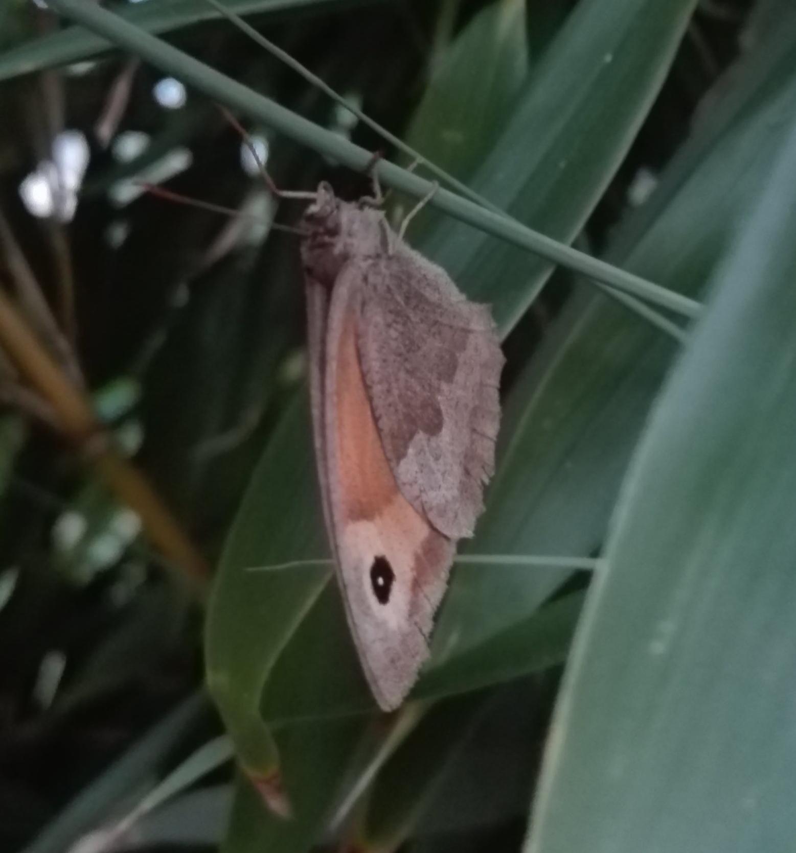 176 Meadow Brown butterfly