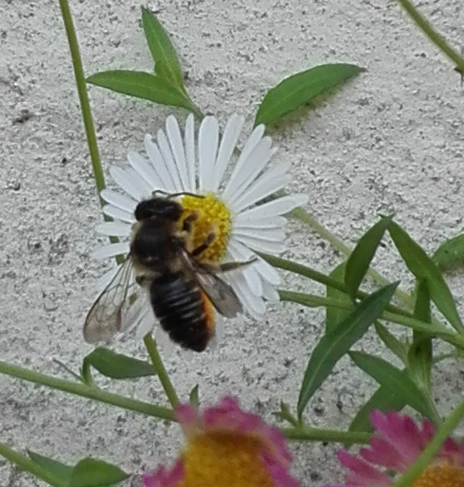 181 Patchwork Leaf-cutter Bee on Wall Daisy