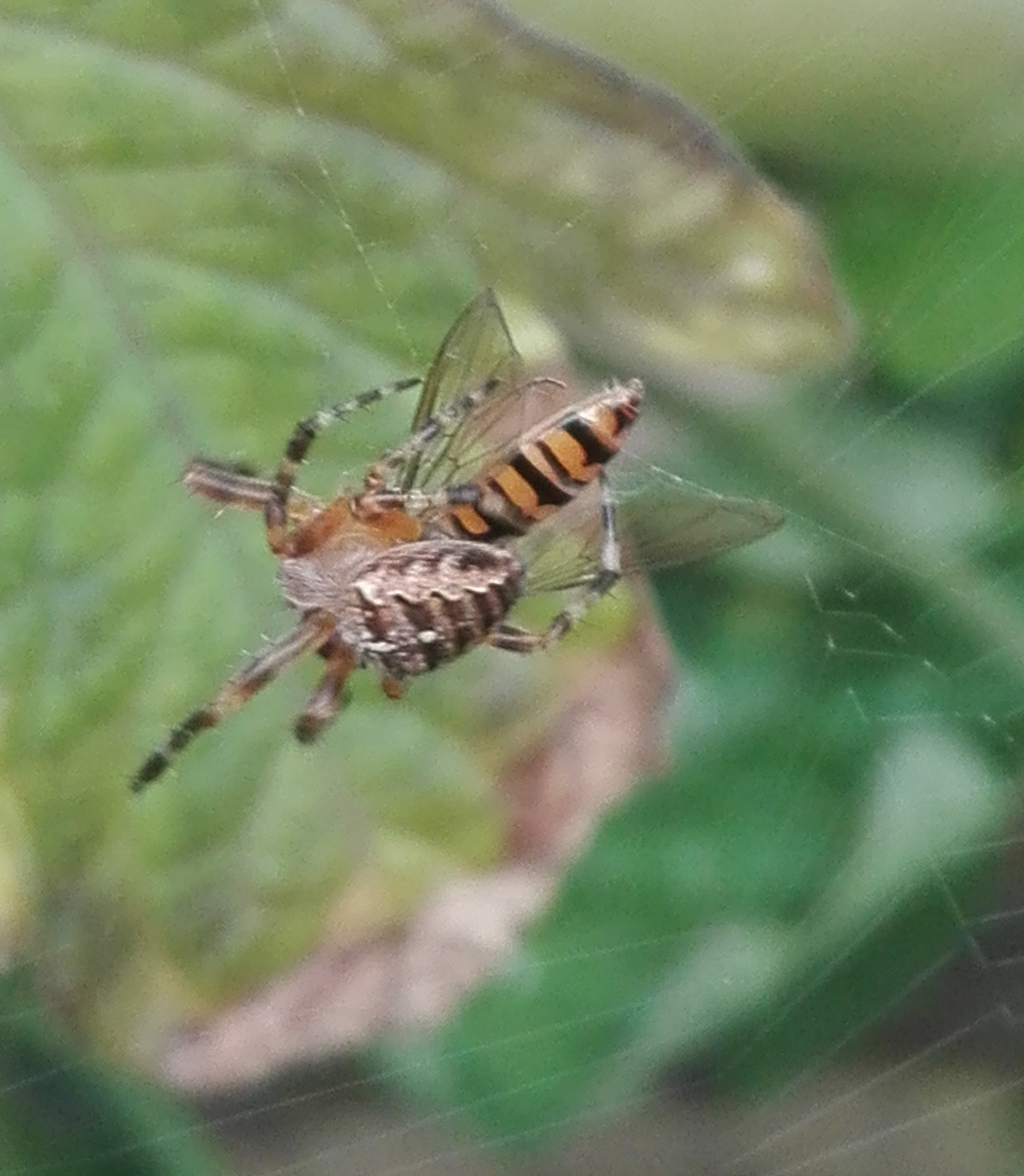 Garden Spider (#65) and Marmalade Hoverfly (#116)