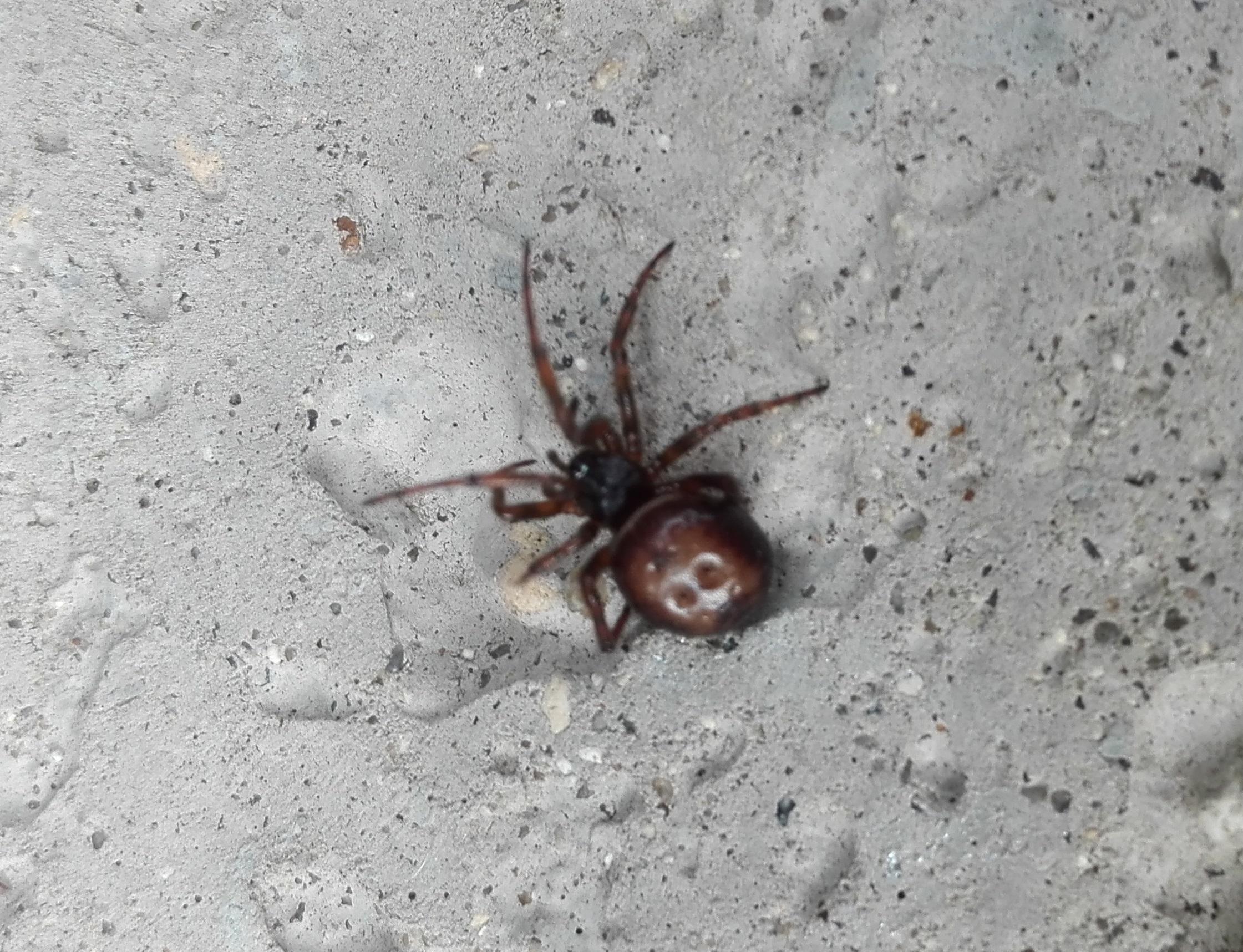 #337 Rabbit-hutch Spider