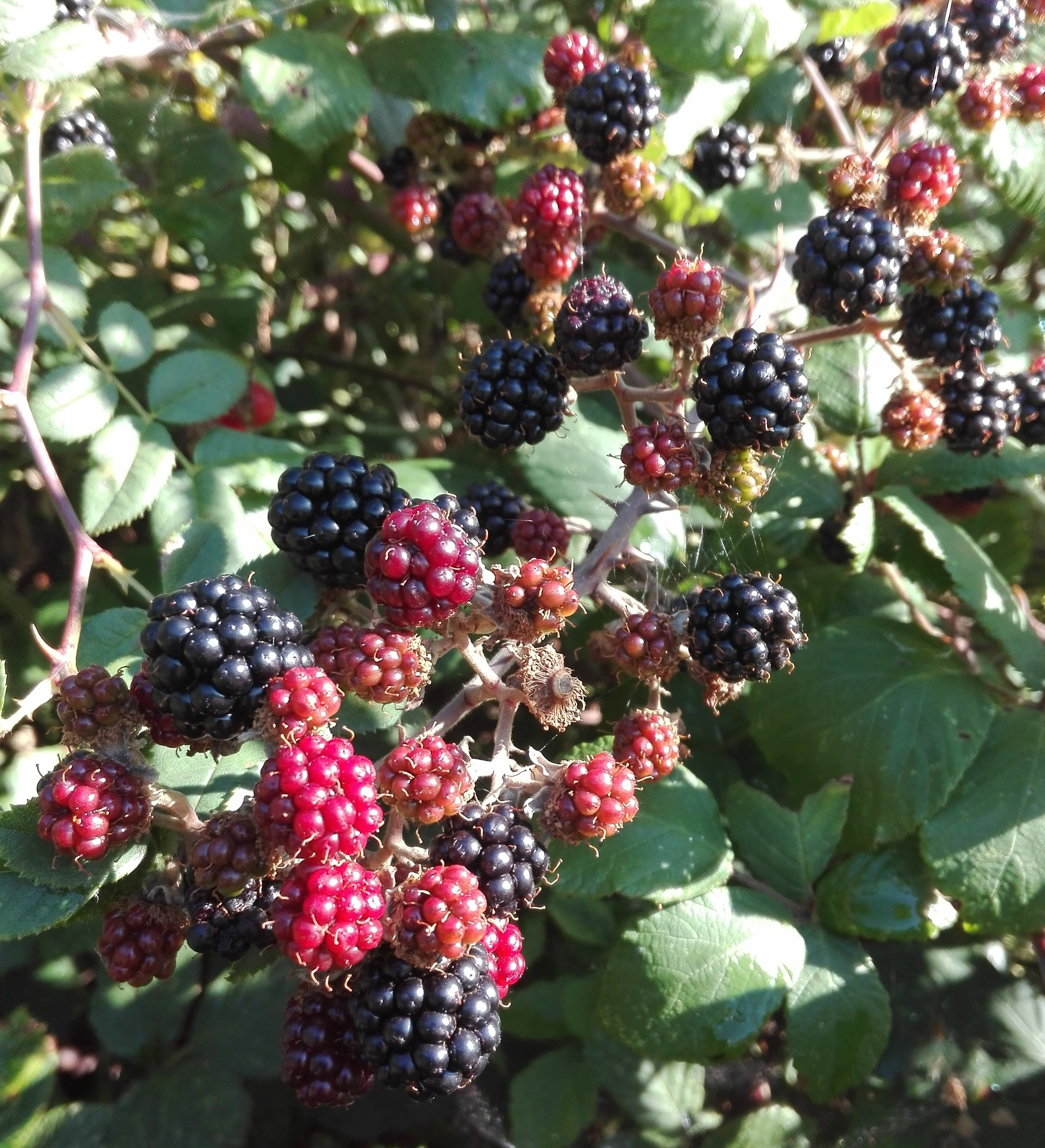 Blackberries / Brambles