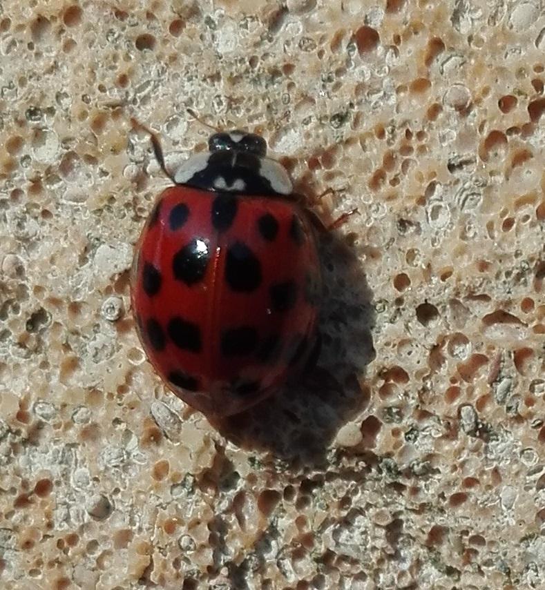 124 Harlequin Ladybird 3.jpg