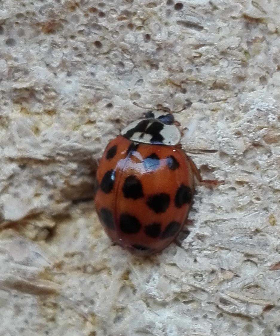 124 Harlequin Ladybird 2.jpg