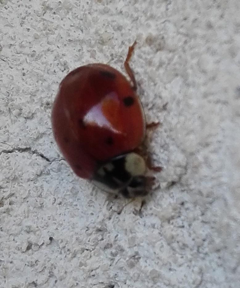 124 Harlequin Ladybird 4.jpg