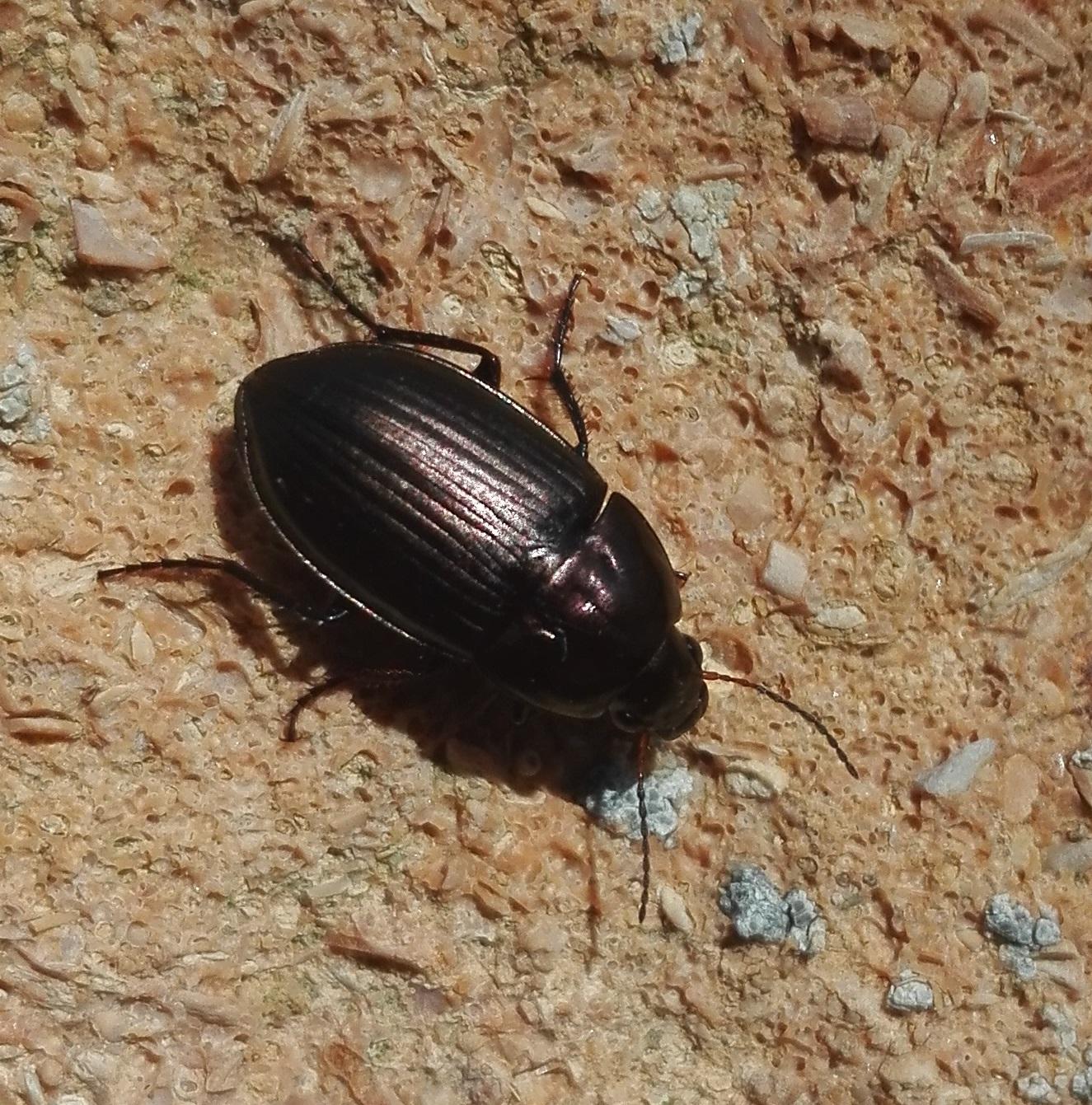 352 Amara sp ground beetle 2.jpg