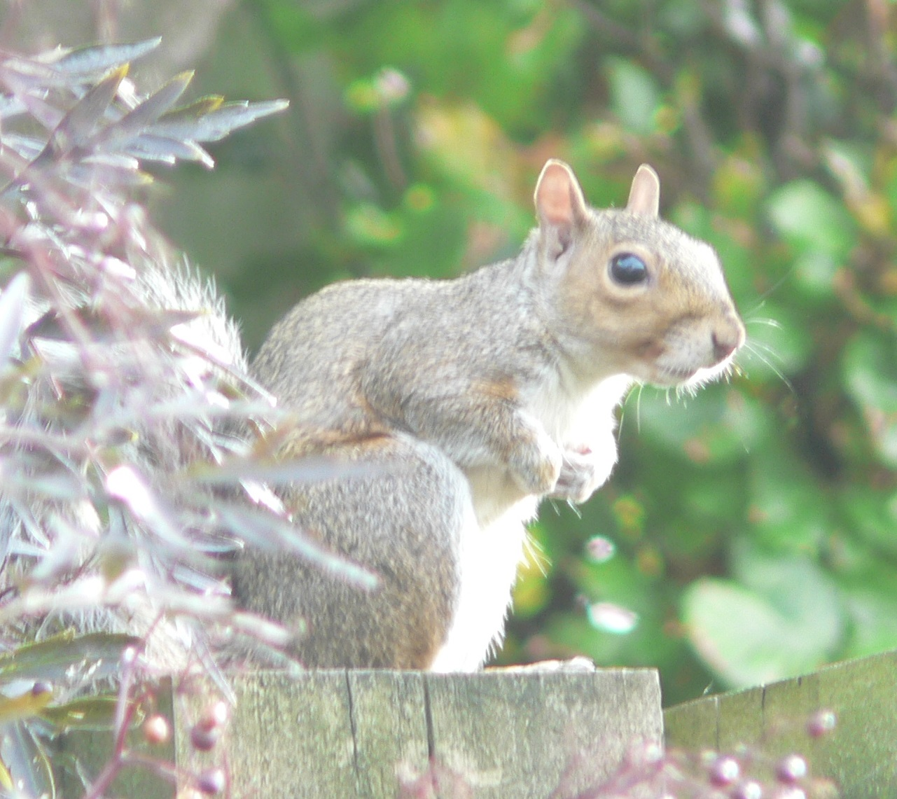 94 Grey Squirrel 3.JPG