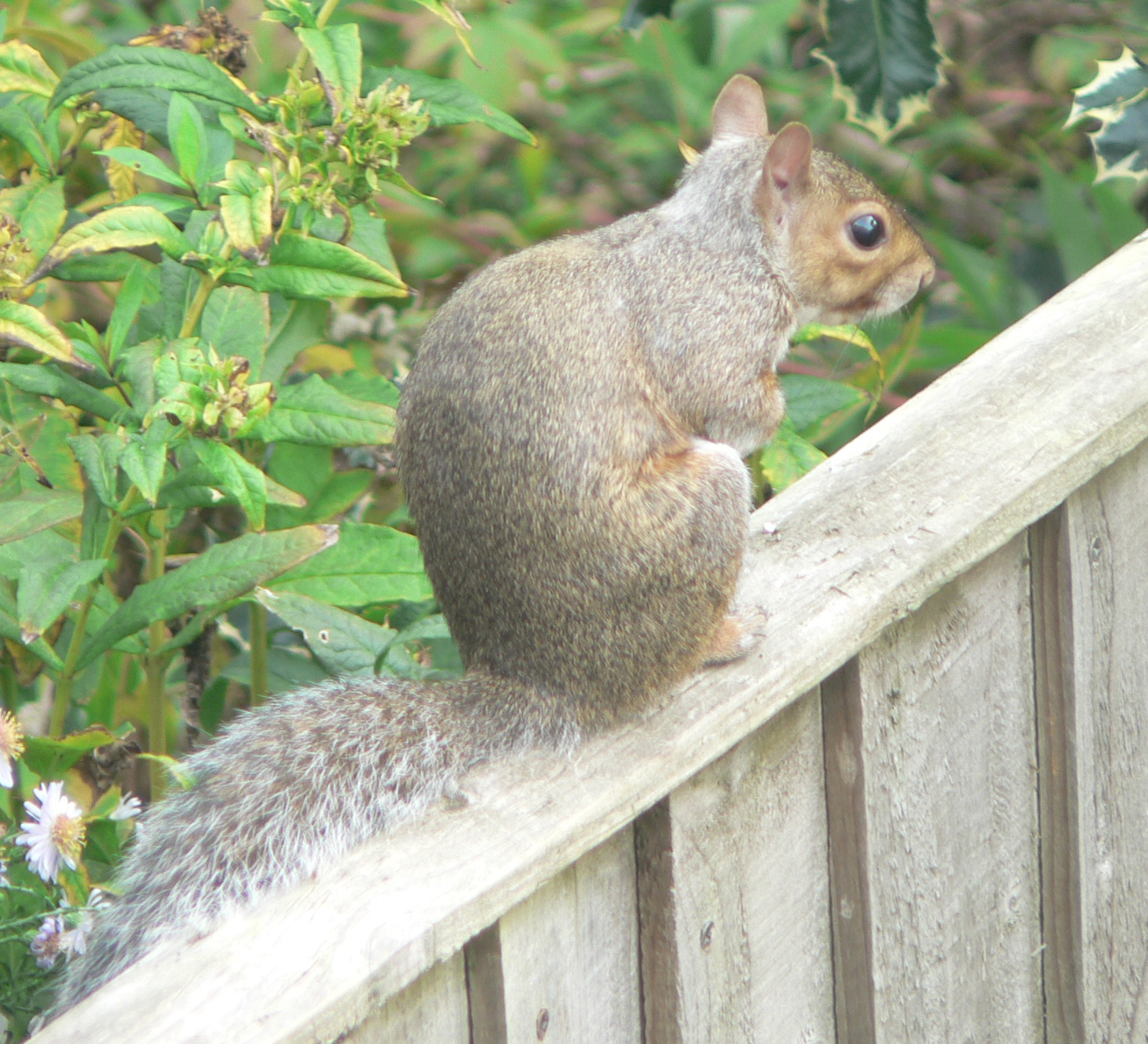 94 Grey Squirrel 2.JPG