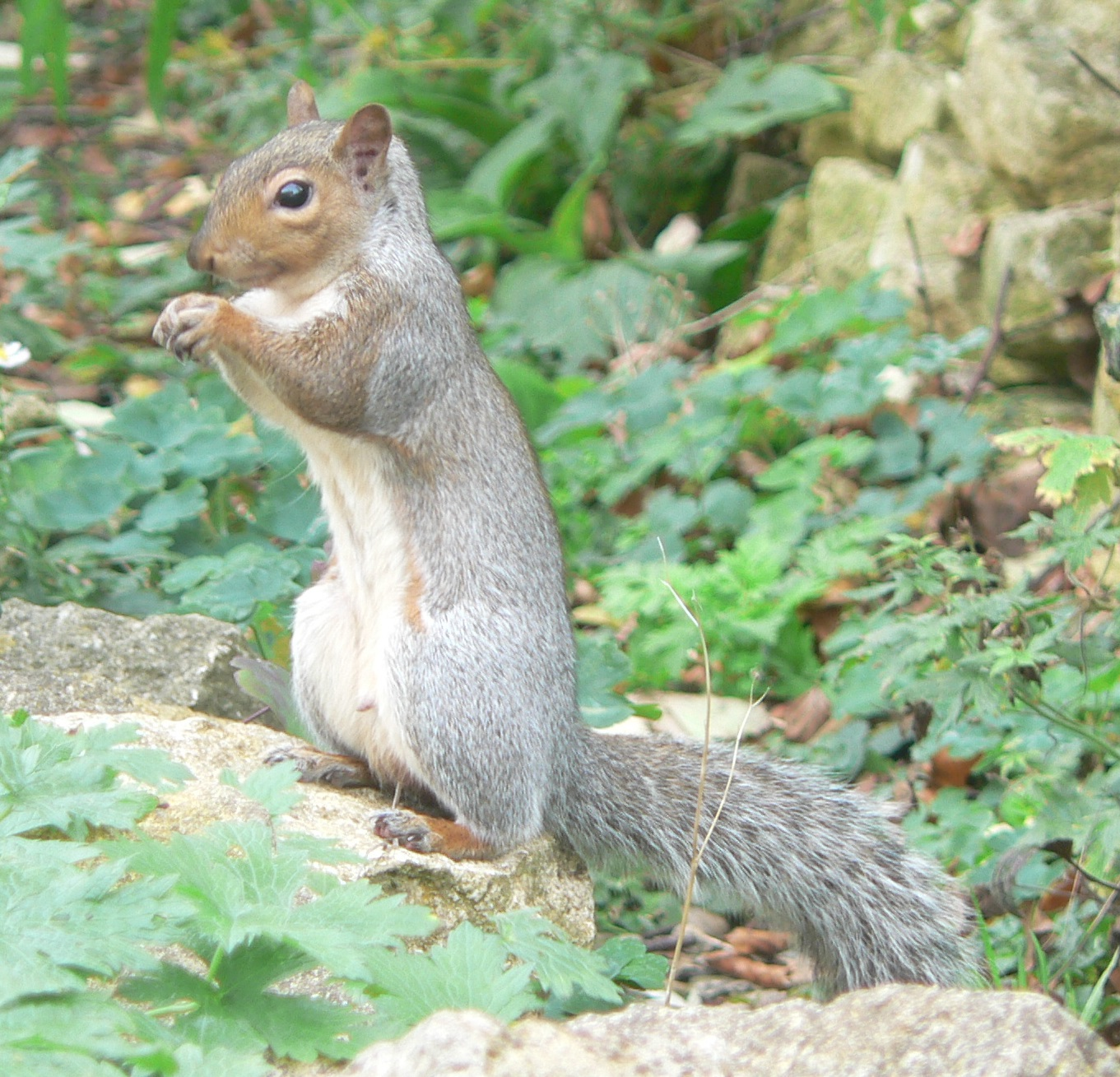 94 Grey Squirrel.JPG