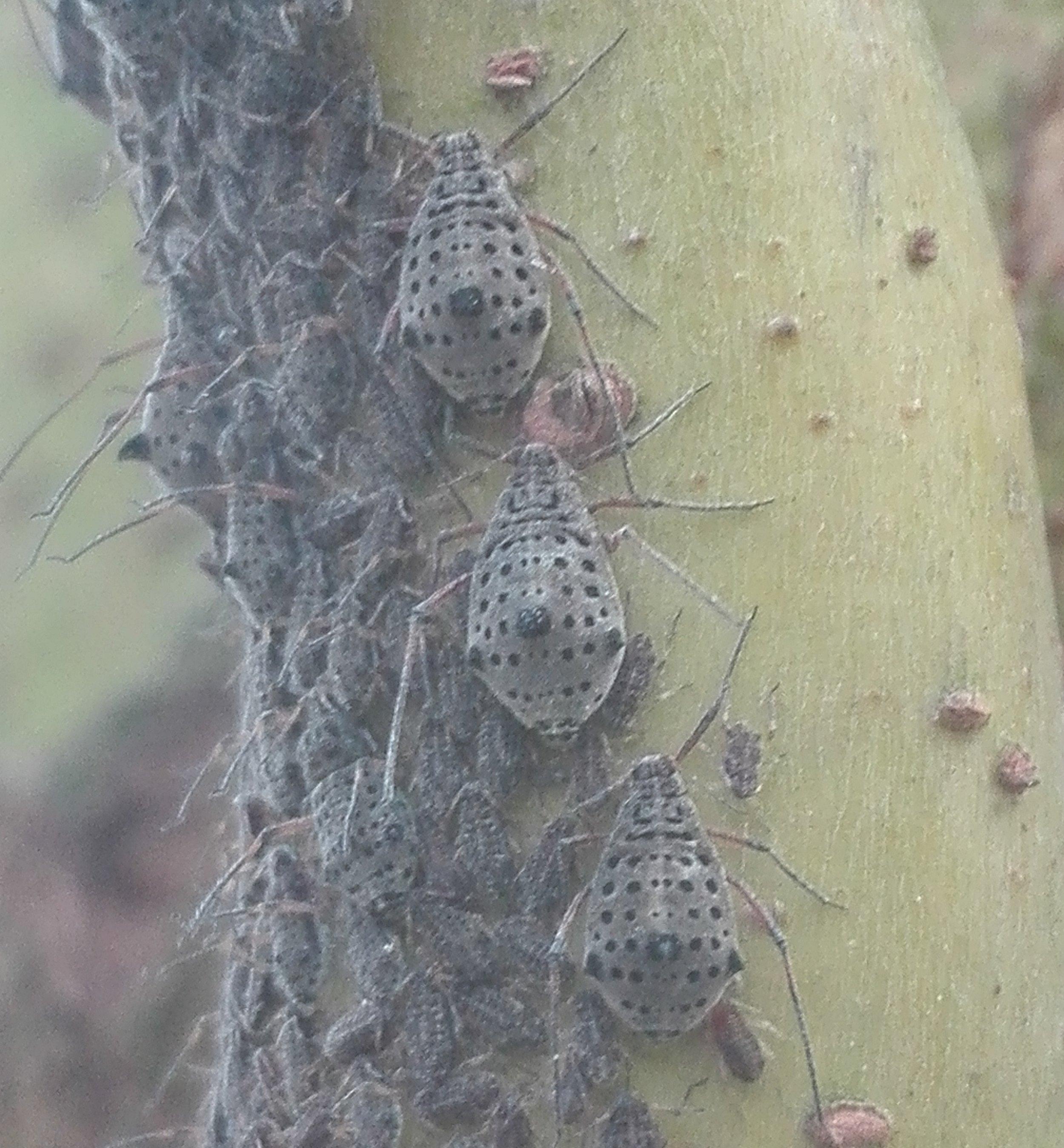 #389 Giant Willow Aphid (Tuberolachnus salignus)
