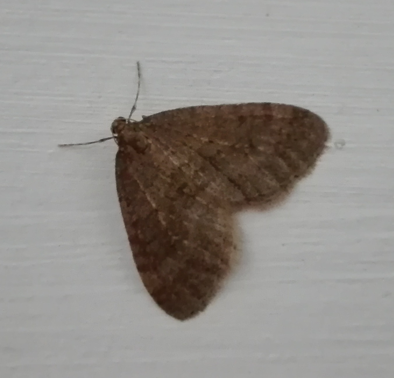 401 winter moth.jpg