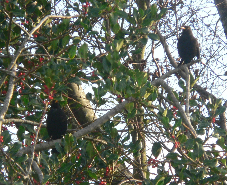 #7 Blackbird