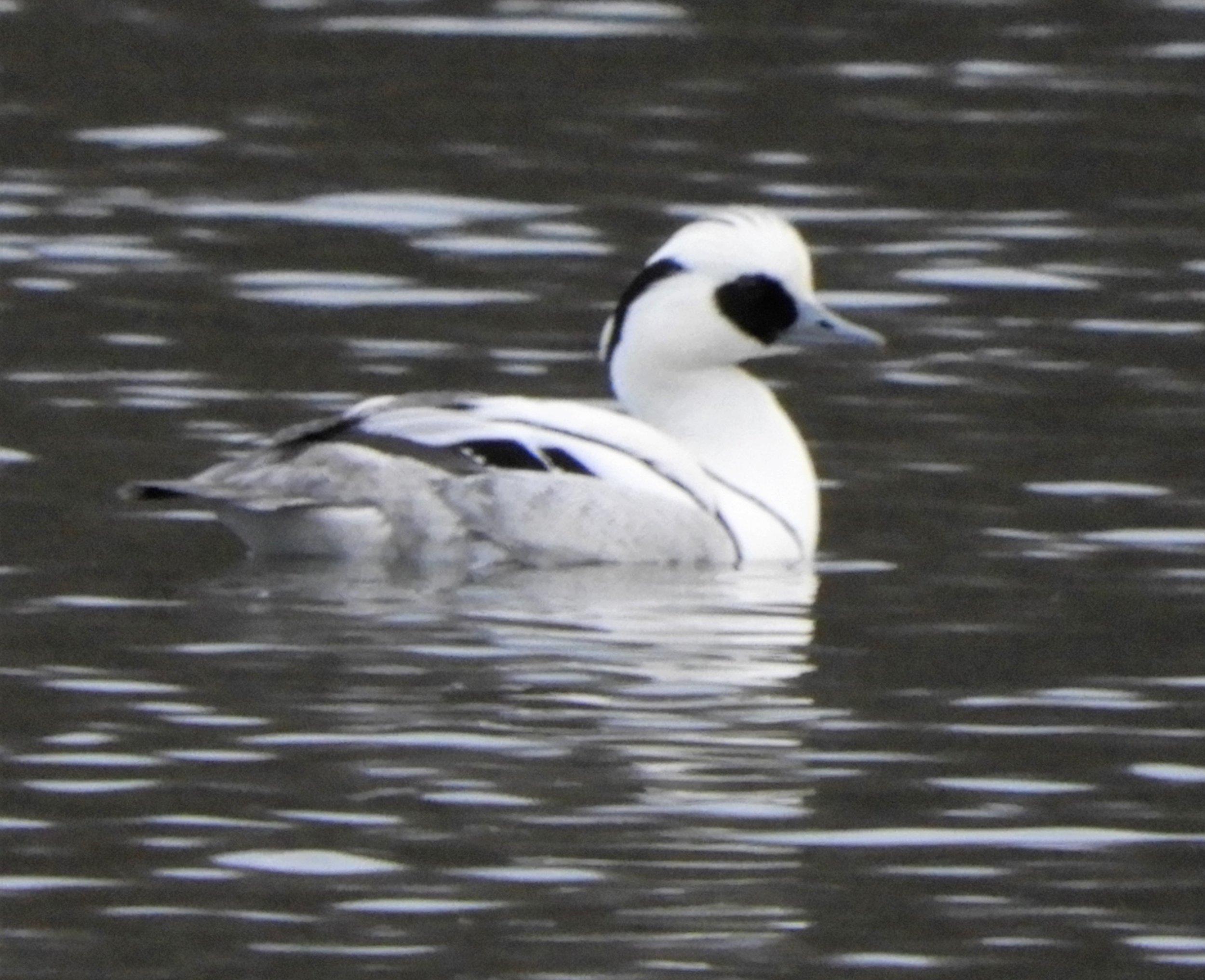 Drake Smew, Kemerton Lakes (photo by A Rees)