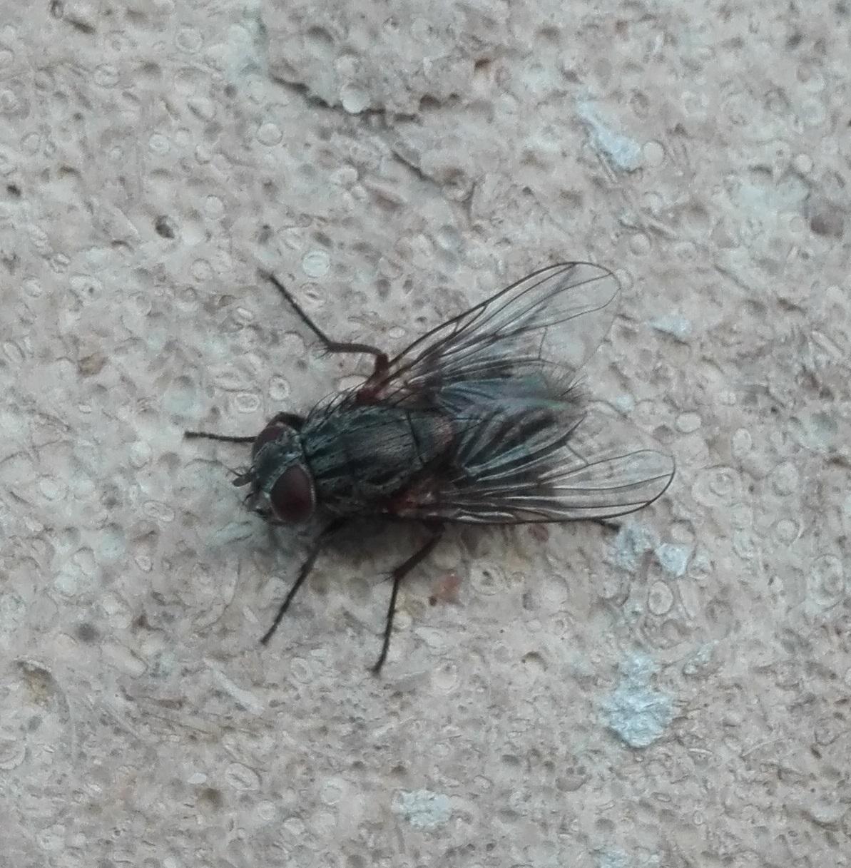 #419 Helina evecta (muscid fly)