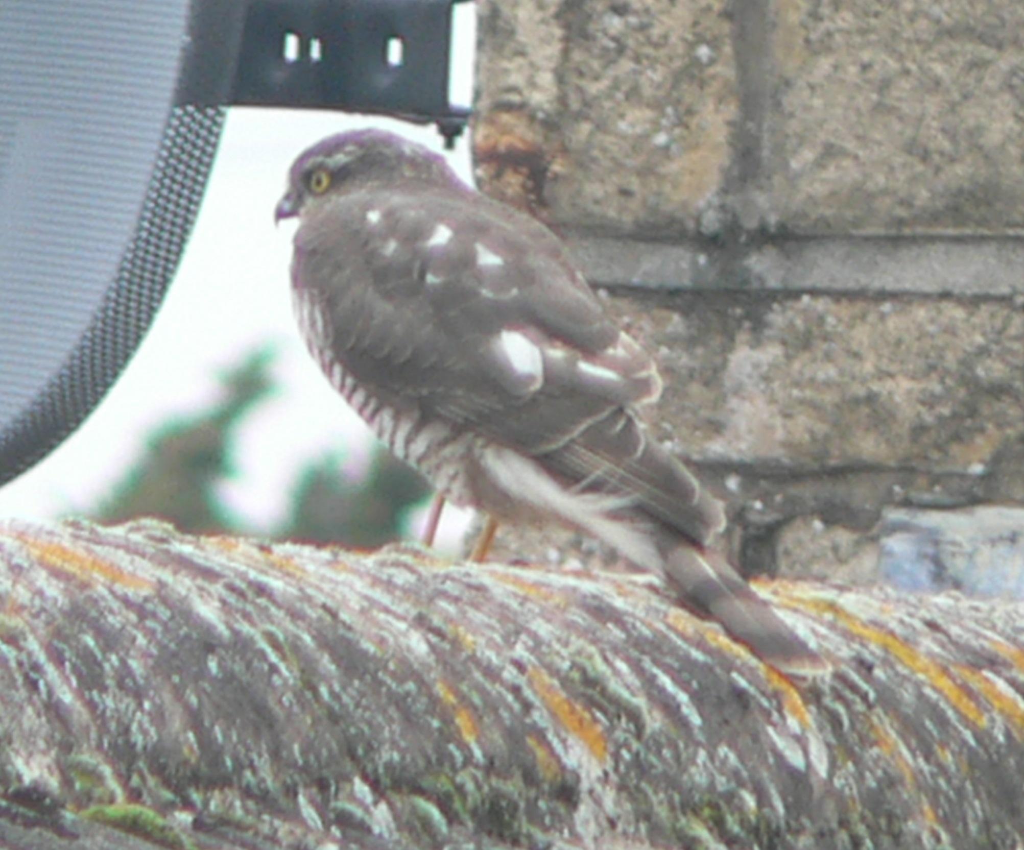 #6 Sparrowhawk (Accipiter nisus)