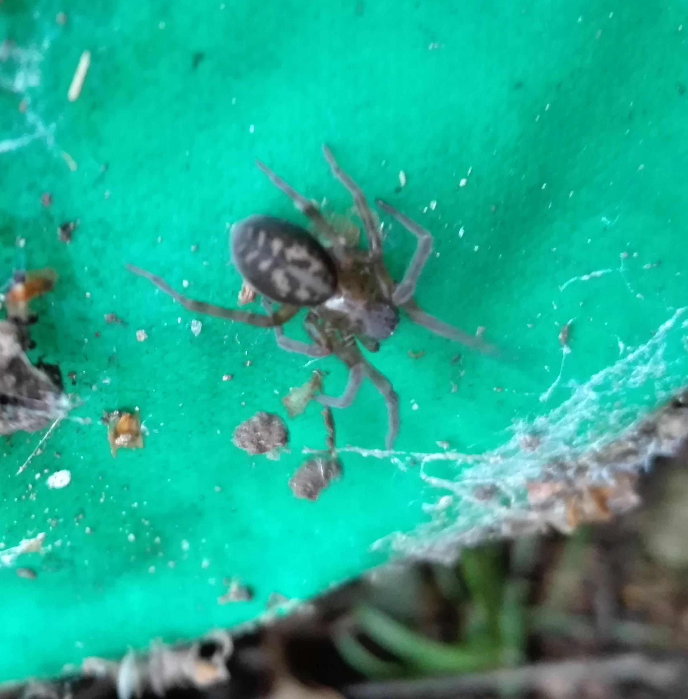 #103 Black Lace Weaver Spider (Amaurobius ferox)