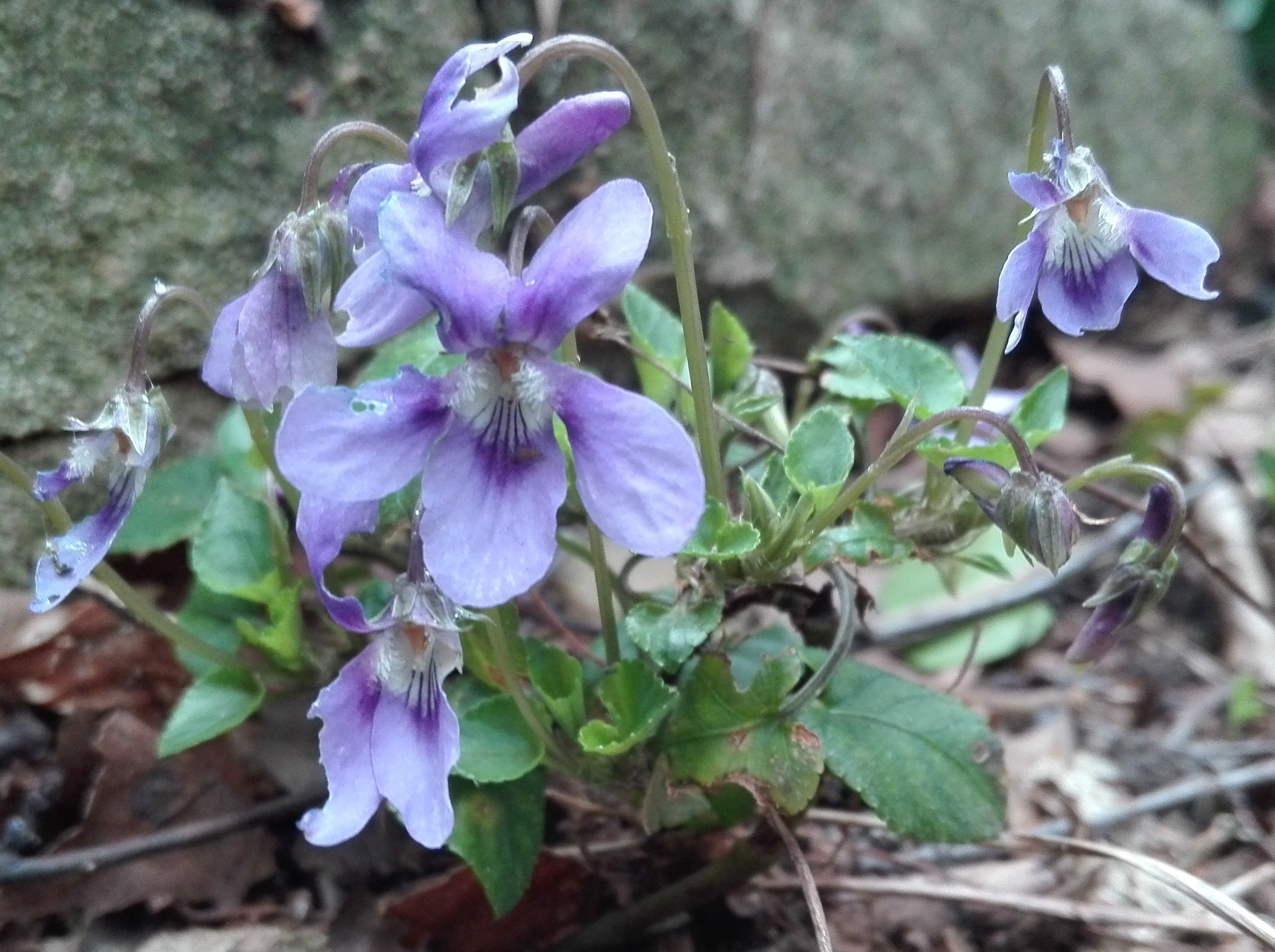 #26 Common Dog Violet (Viola riviniana)