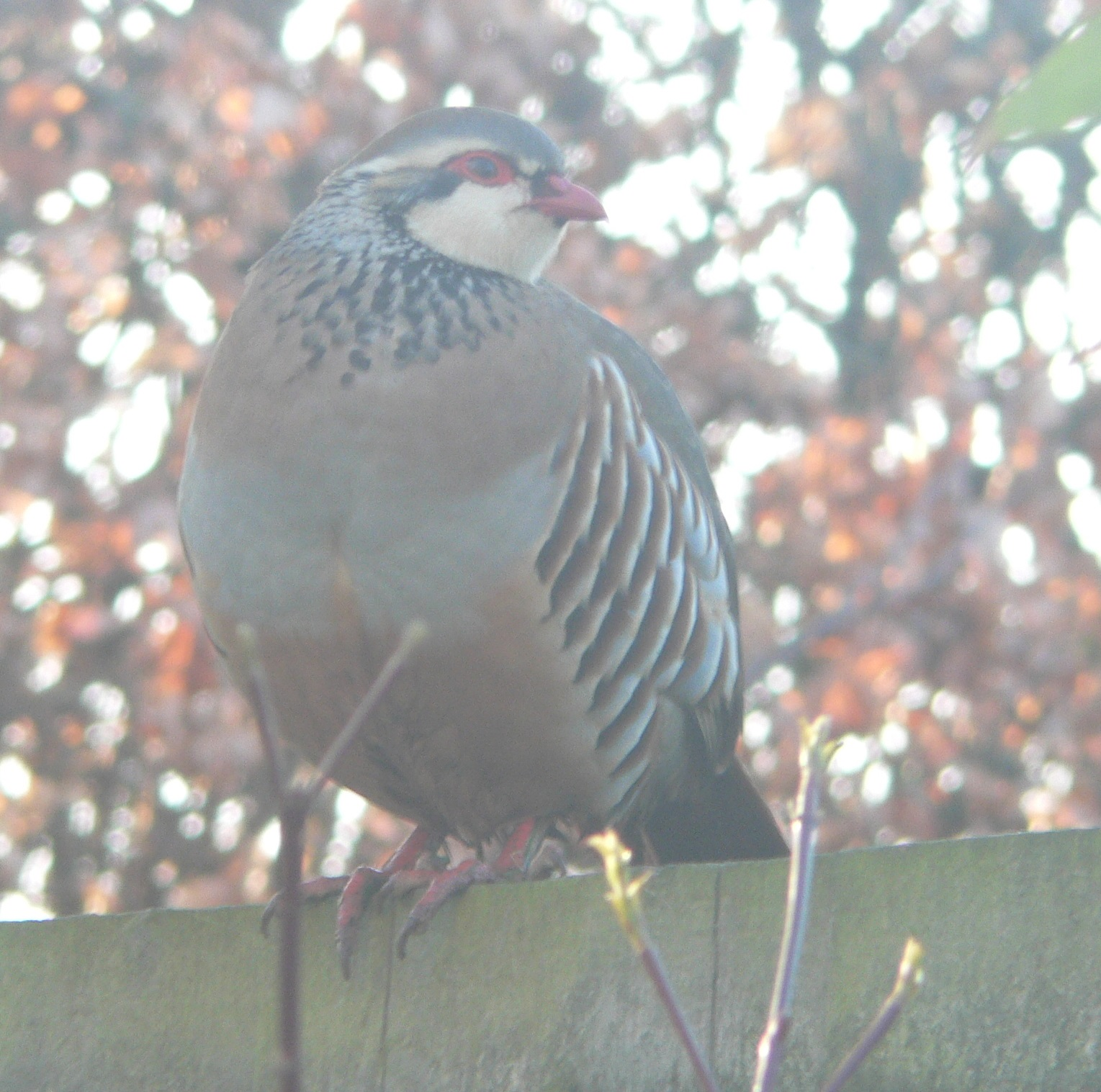 #435 Red-legged Partridge (Alectoris rufa)