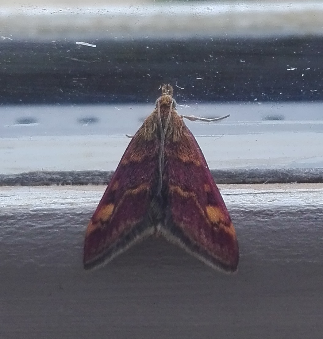 #69 Mint Moth (Pyrausta aurata)