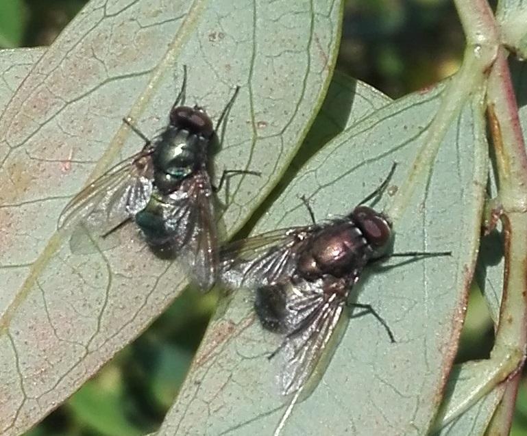 #441 Eudasyphora cyanella