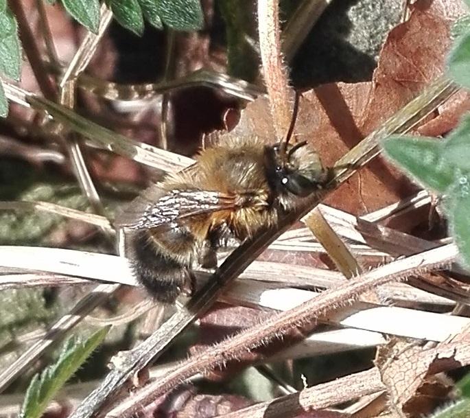 #442 Tawny Mining Bee (Andrena fulva)