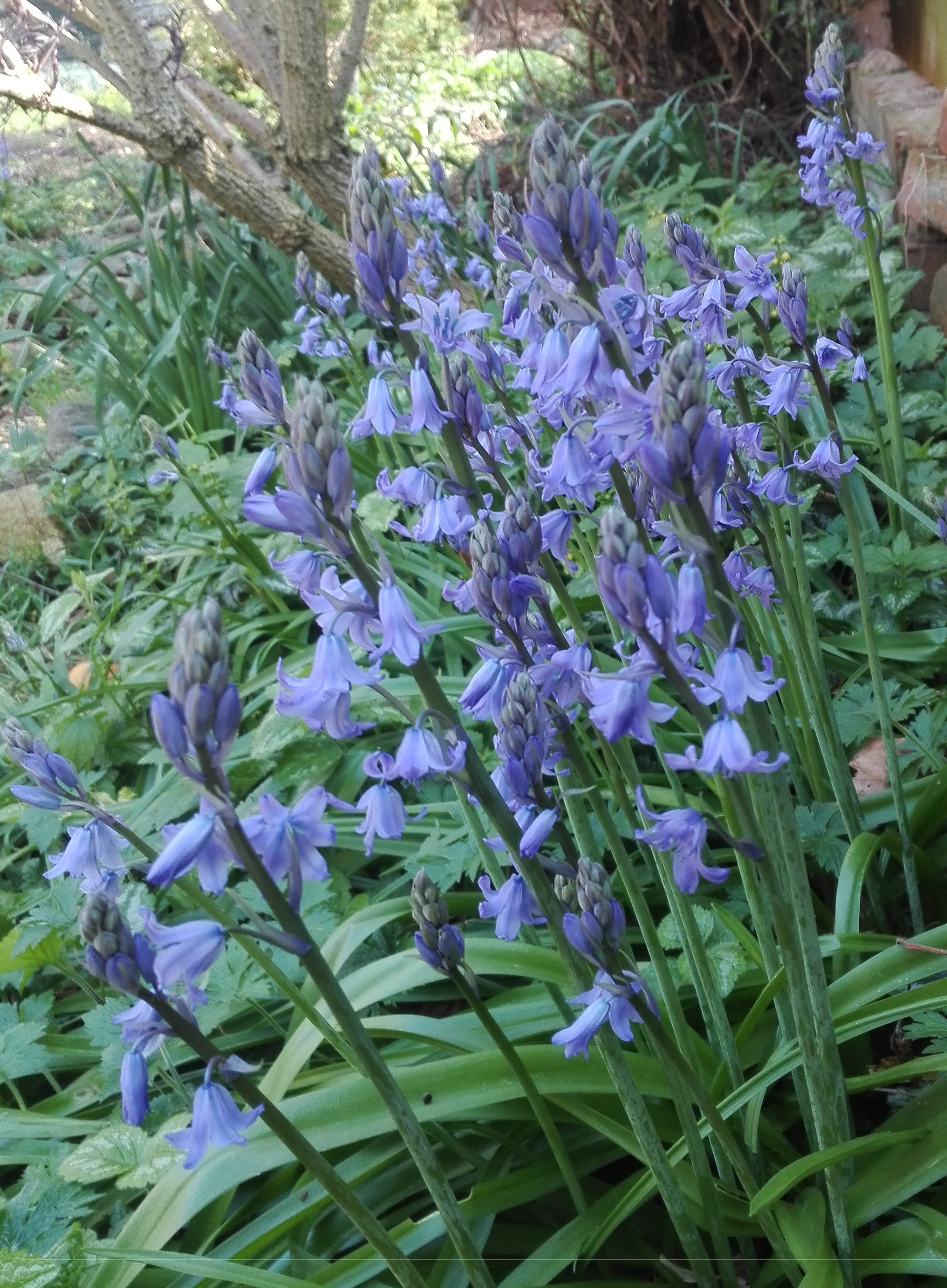 #16 Spanish Bluebell (Hyacinthoides hispanica)