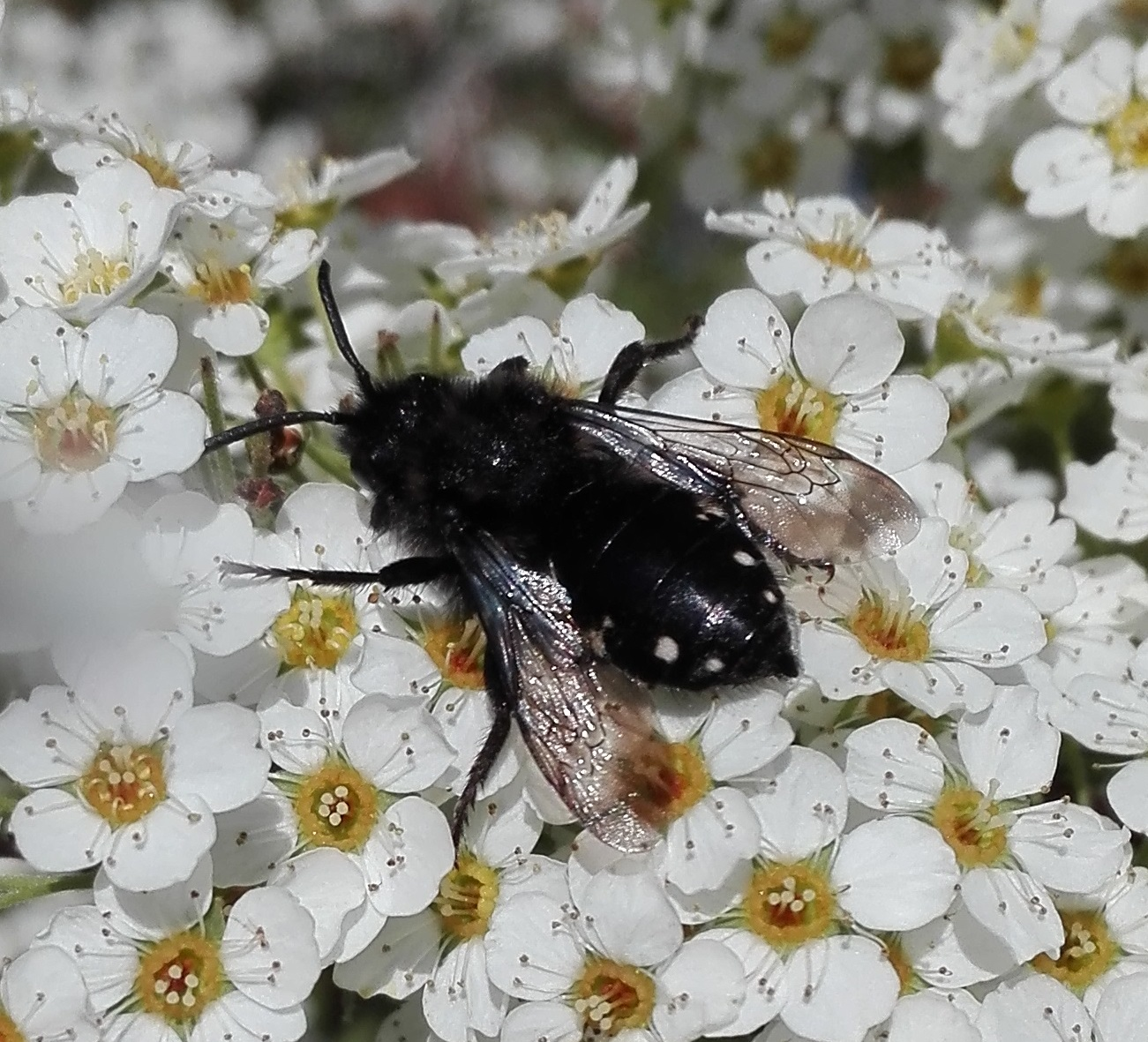 #444 Common Mourning Bee (Melecta albifrons)