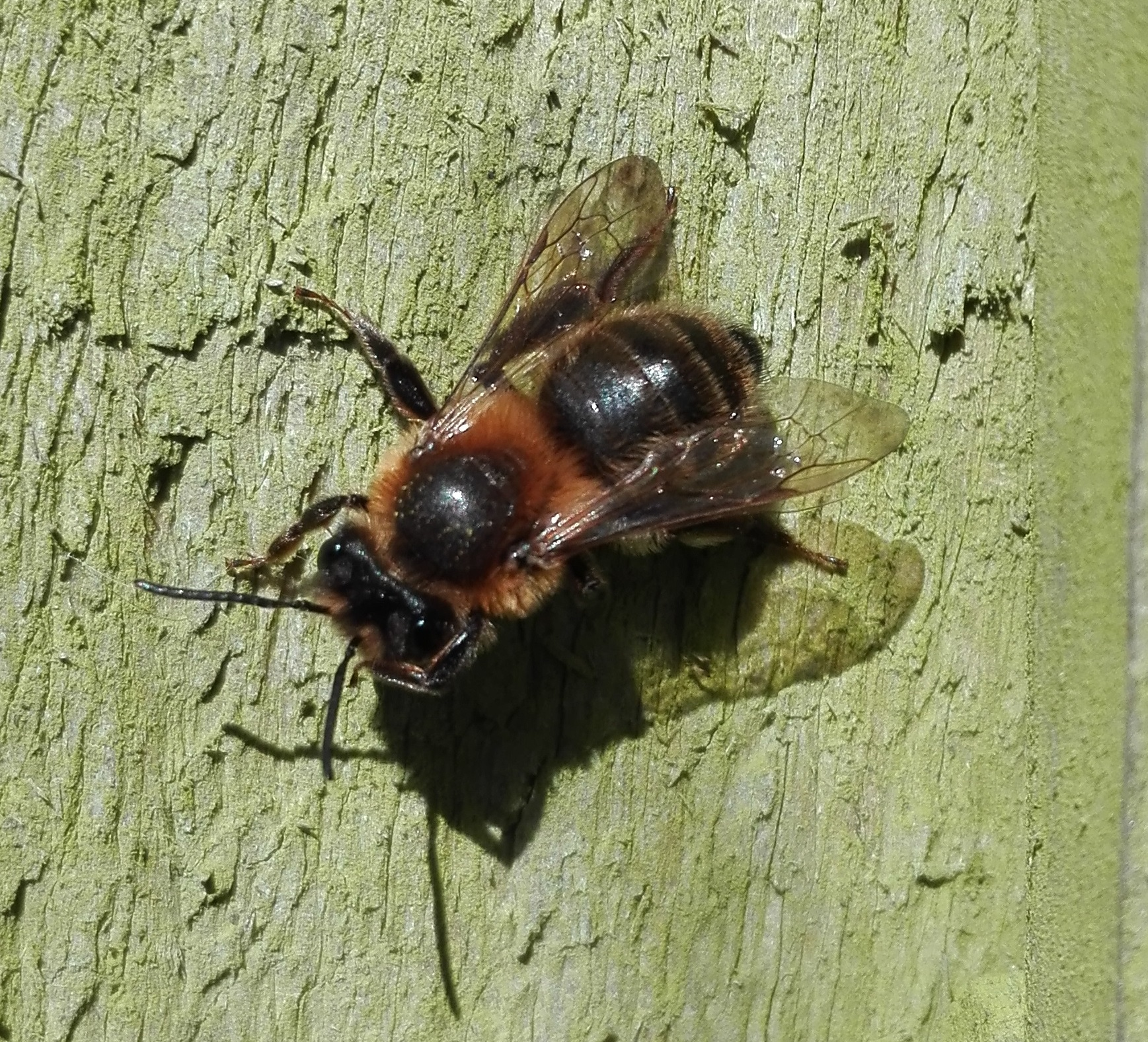 #445 Early Mining Bee (Andrena haemorrhoa)