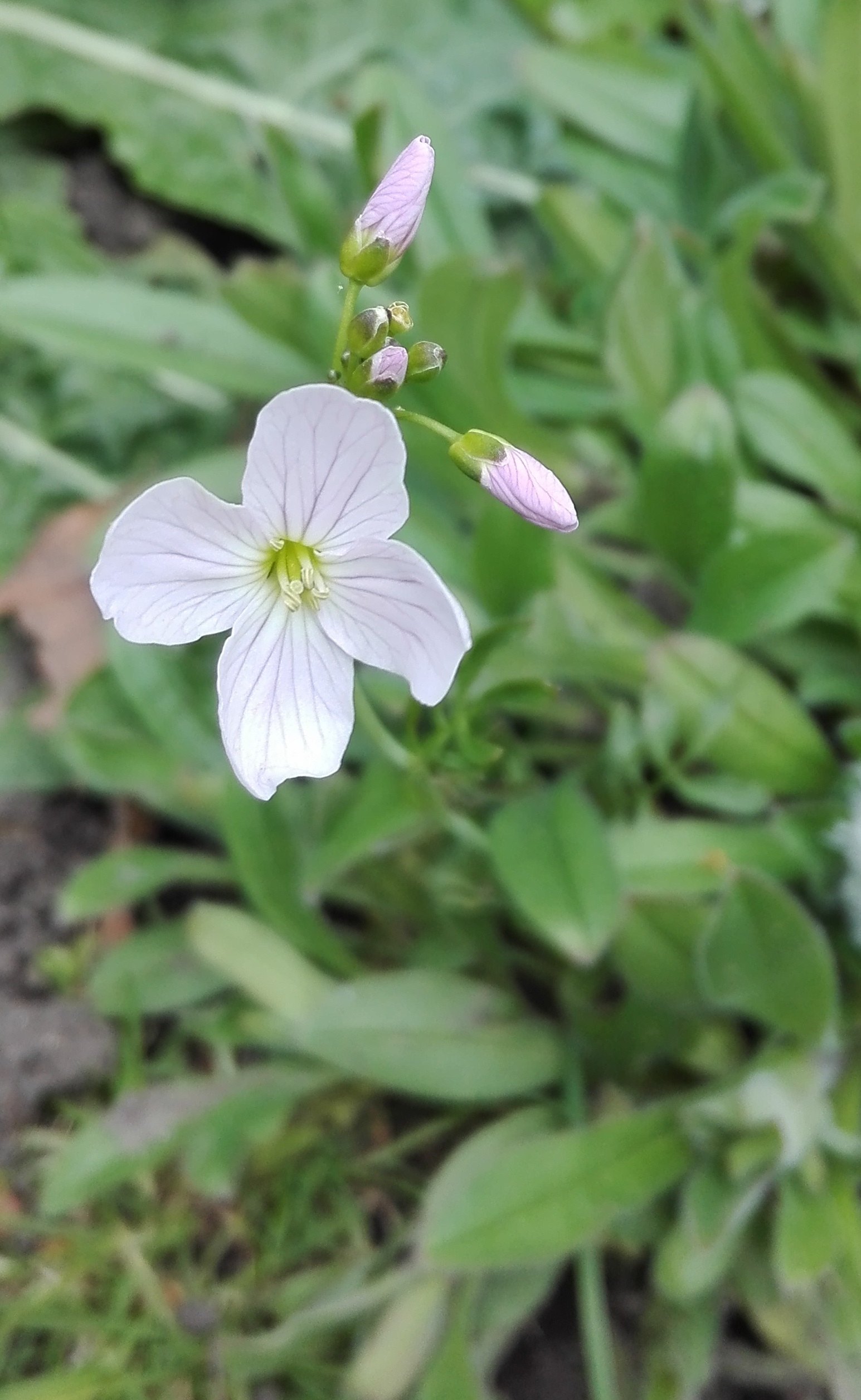 #453 Cuckoo Flower (Cardamine pratensis)