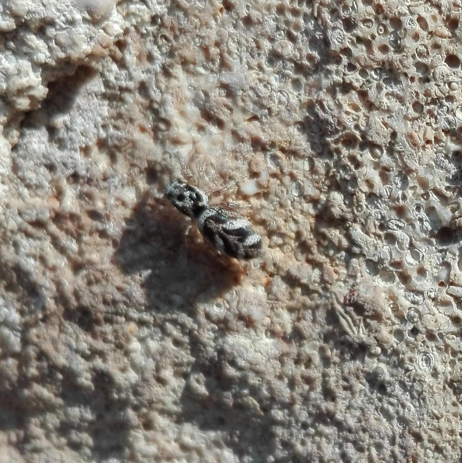 #460 Zebra Spider (Salticus scenicus)