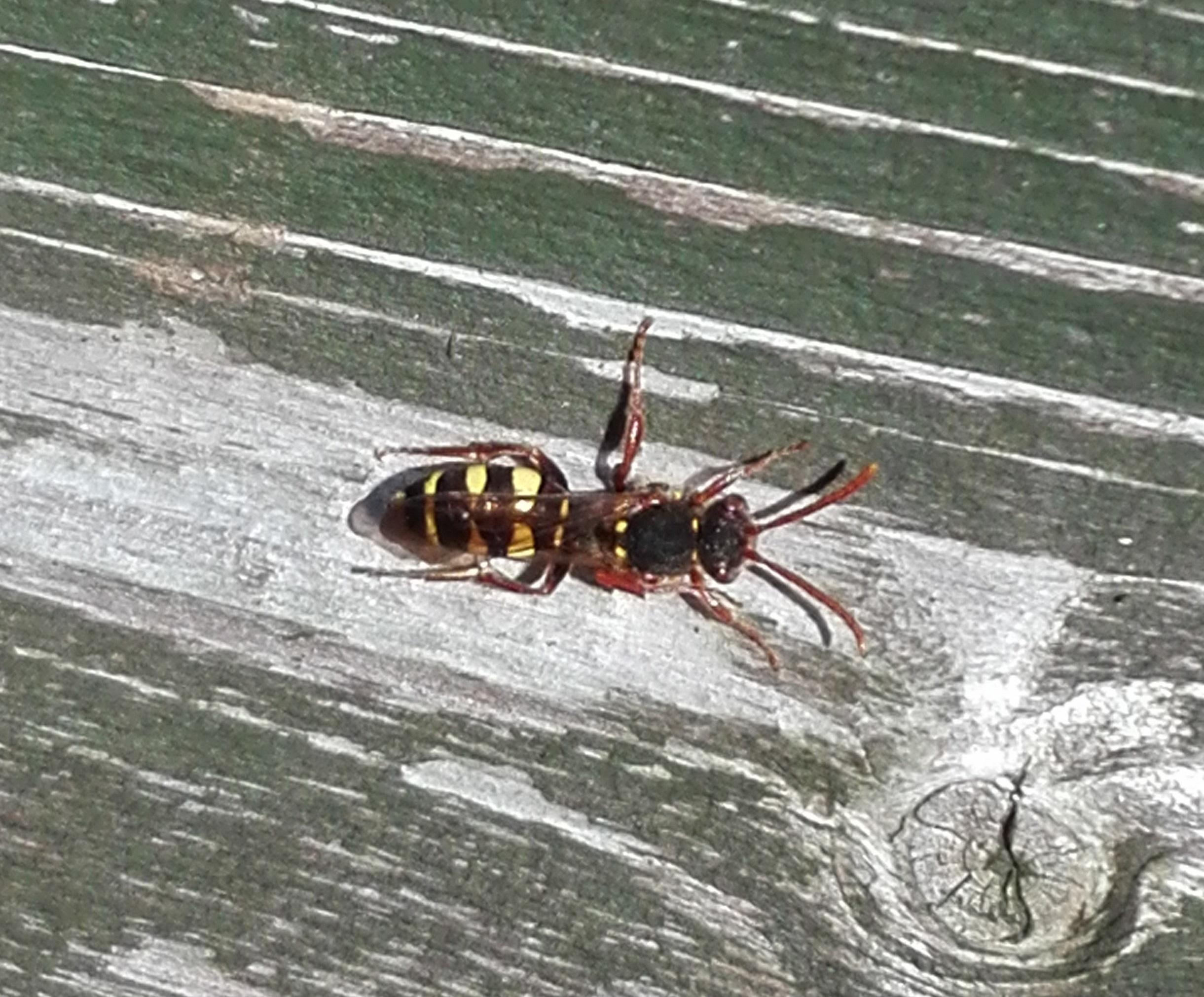 #481 Marsham's Nomad Bee (Nomada marshamella)