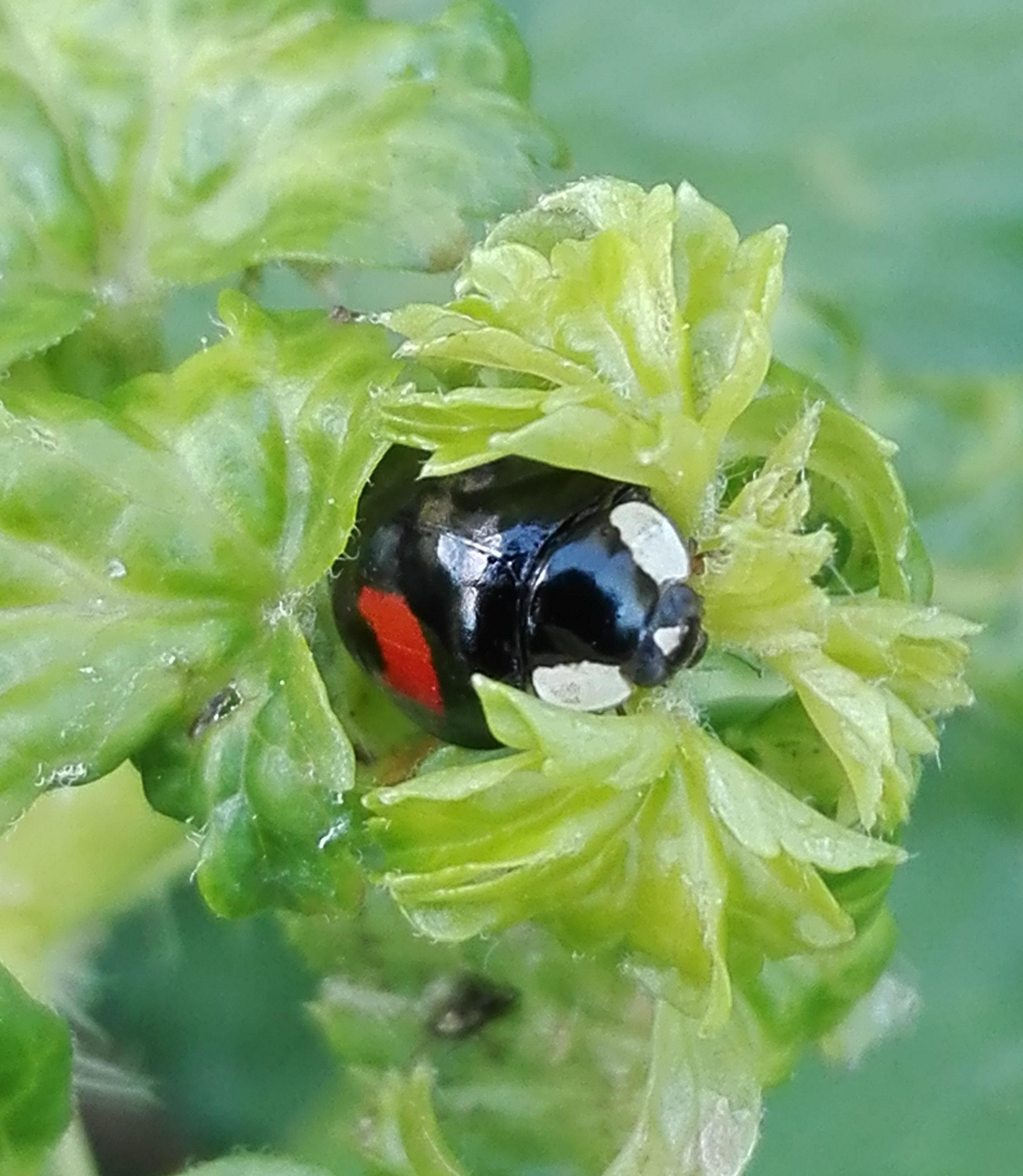 #124 Harlequin Ladybird (Harmonia axyridis)