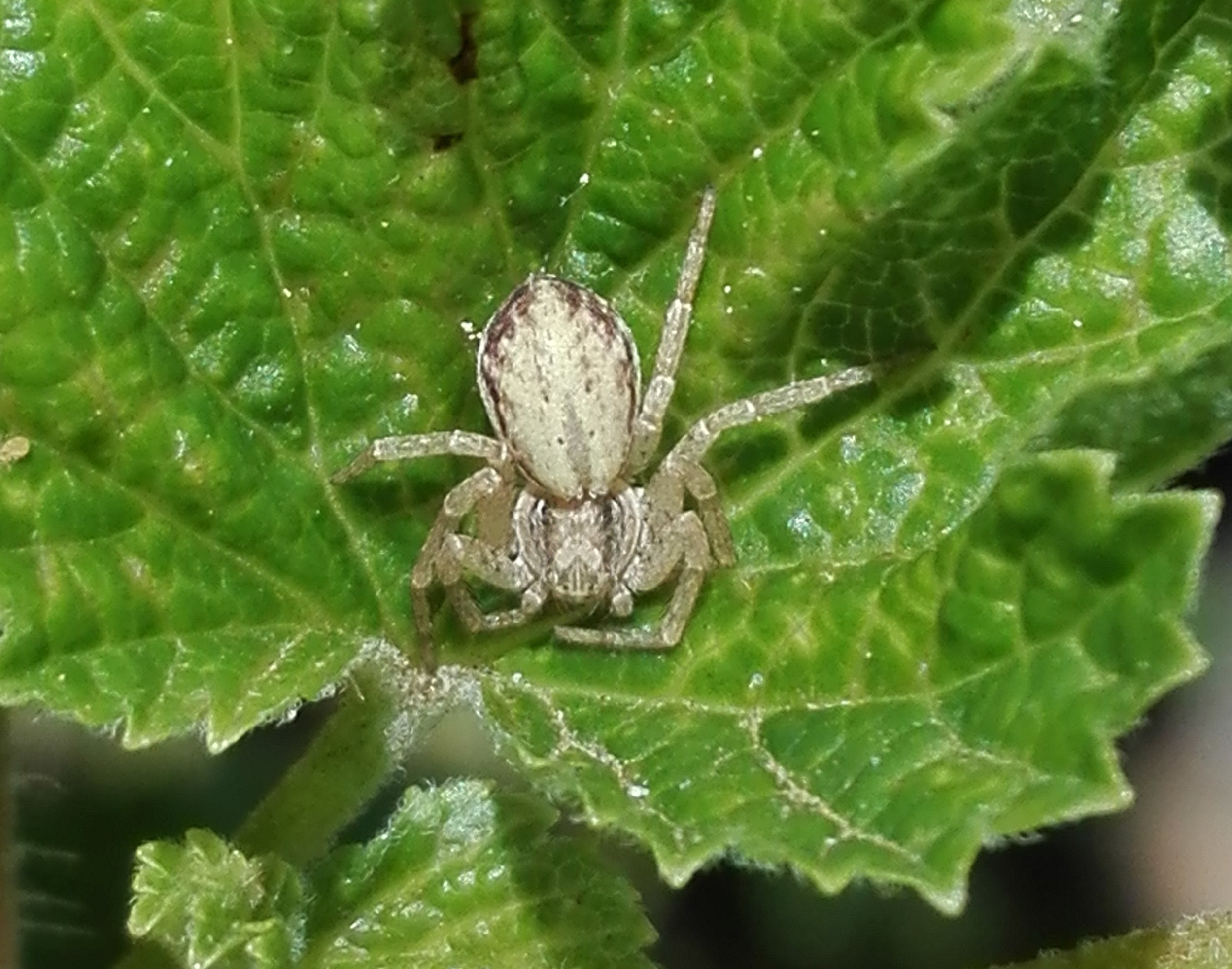 #163 Turf Running Spider (Philodromus cespitum)