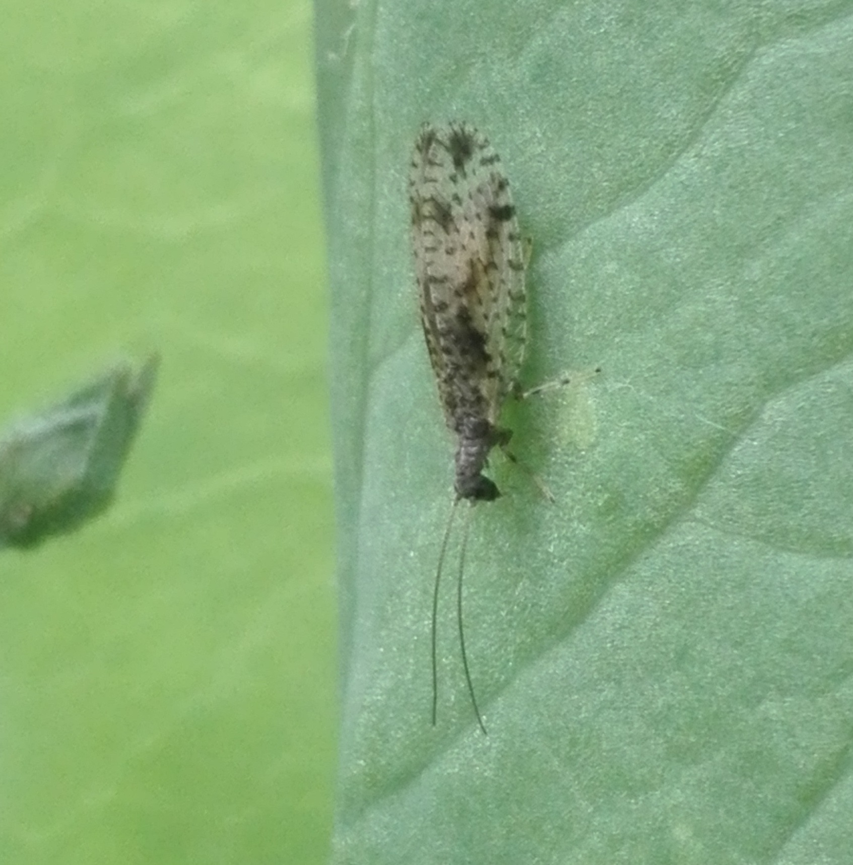 #295 Brown Lacewing (Micromus variegatus)
